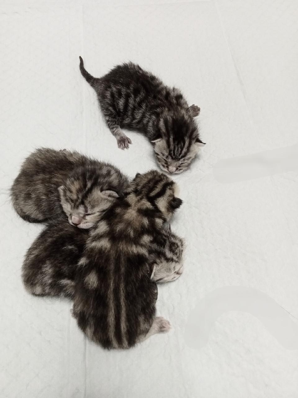 9月11日出生的美短虎斑