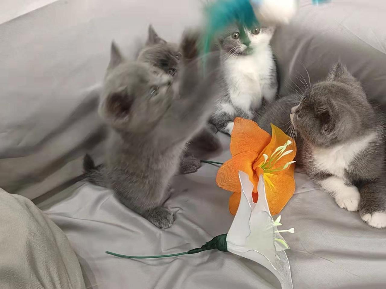 英国短毛猫出售