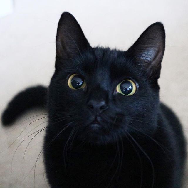 黑猫(玄猫,财猫)幼崽出售