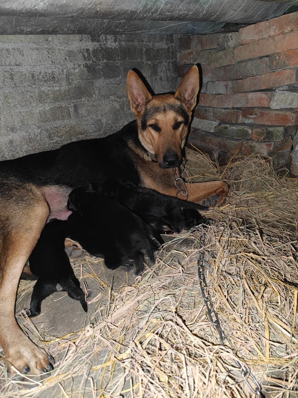 昆明犬大狼狗生了八个小狼狗,喜欢的来