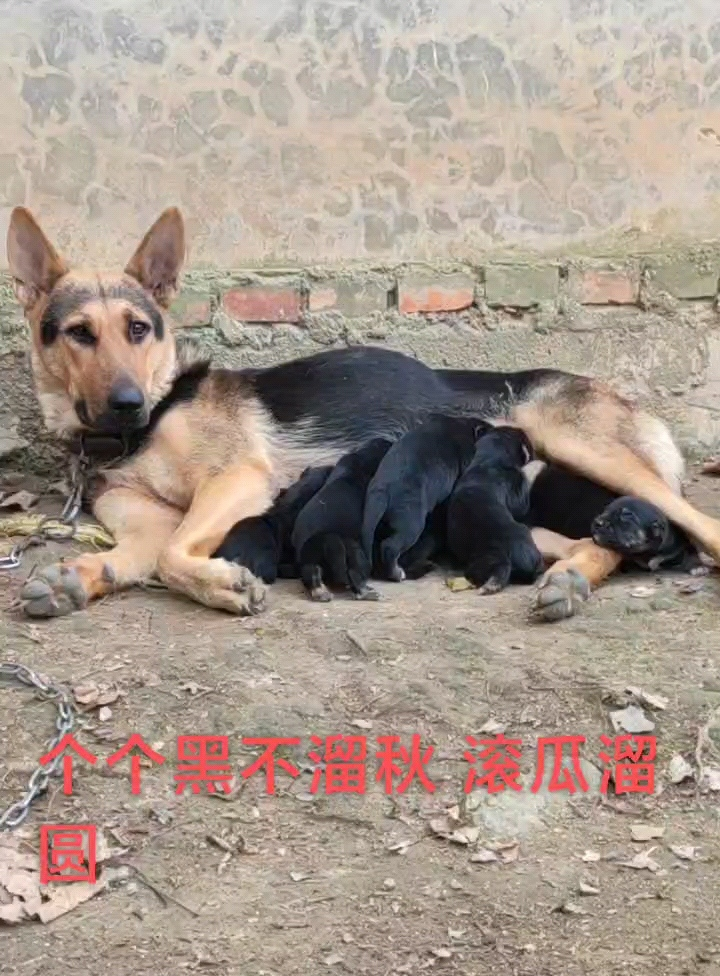 昆明犬生了一窩小狼狗,喜歡的來