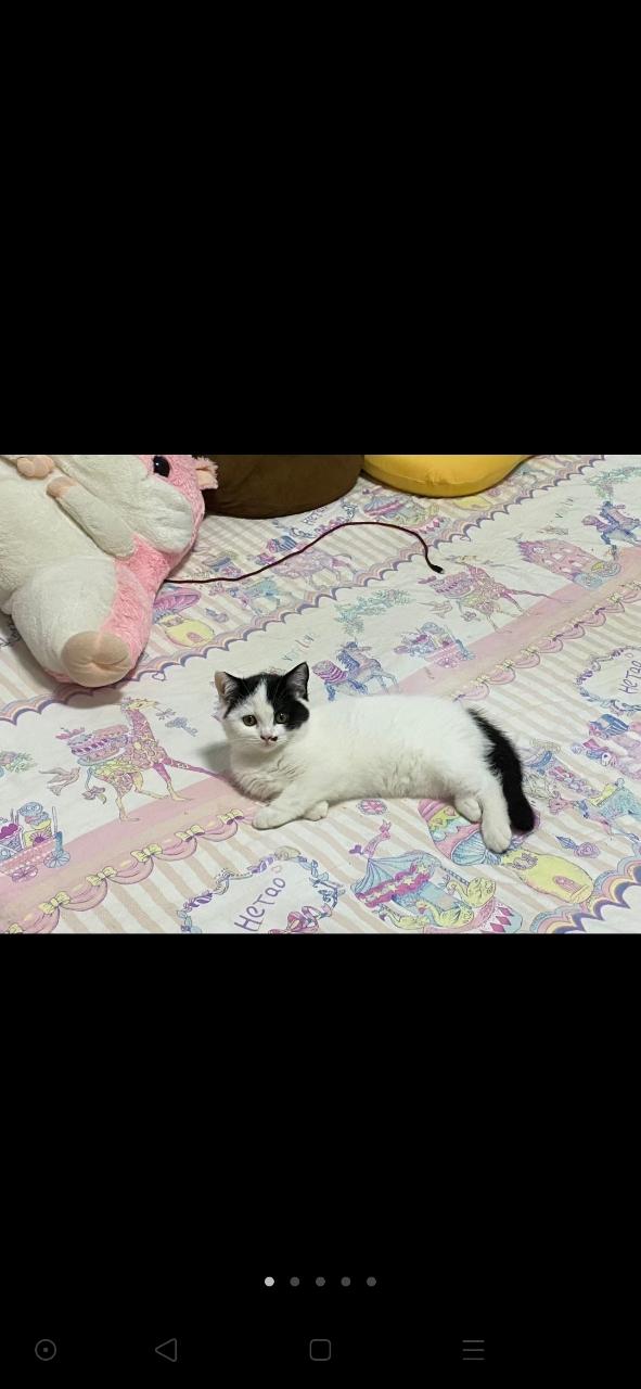 出售小奶猫