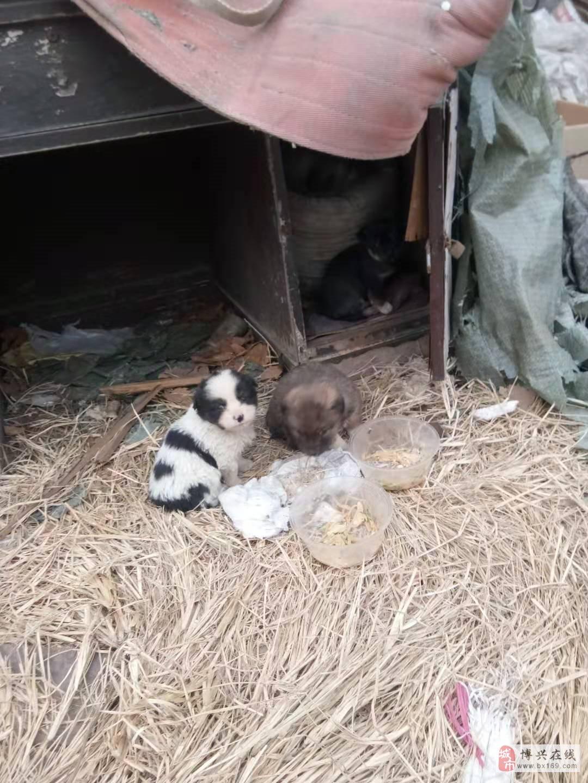 给三个狗狗找个家免费领养