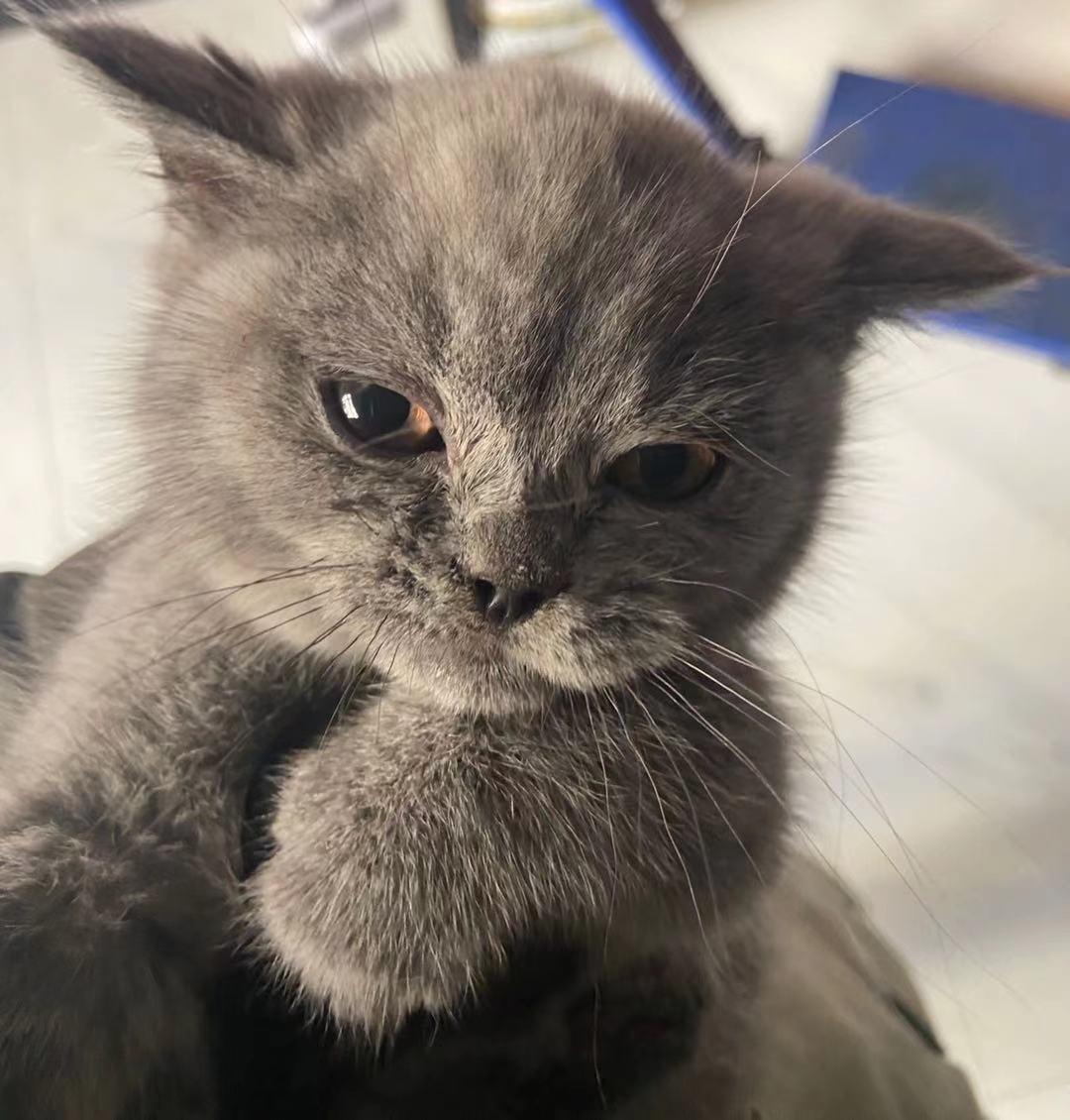 英短蓝猫公猫两个多月 一针疫苗 因个人原因养不了 便宜出 猫