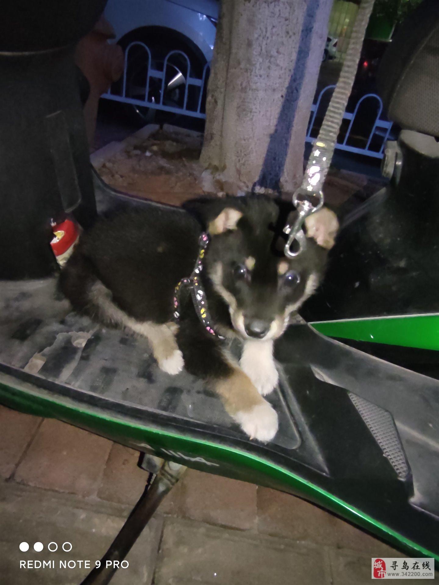 三个月狗狗出售500