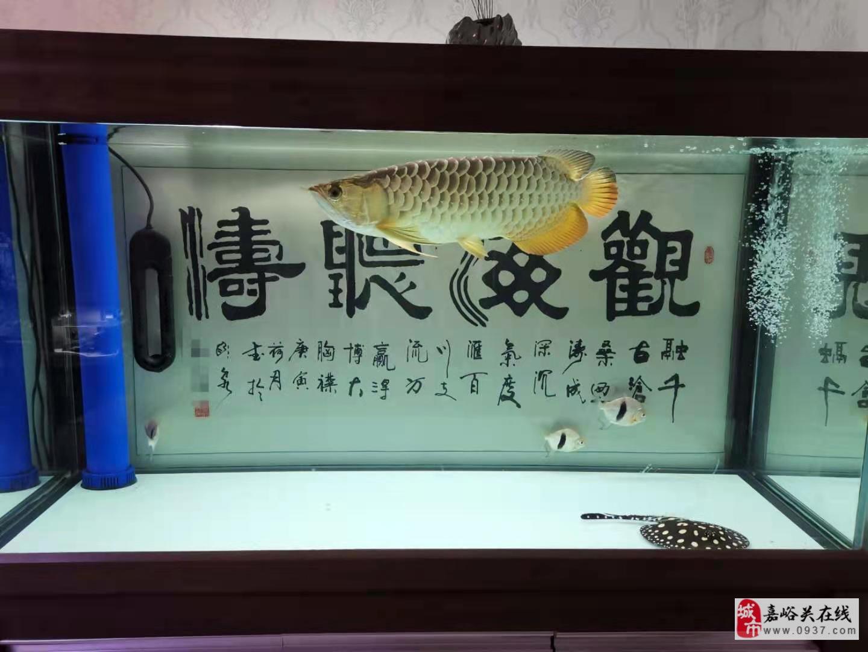 打包出1.5米魚缸40CM過背金龍(皇冠魟)