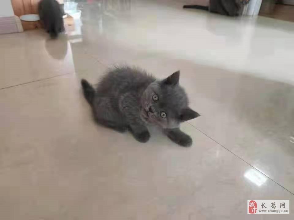 出售英短蓝猫崽