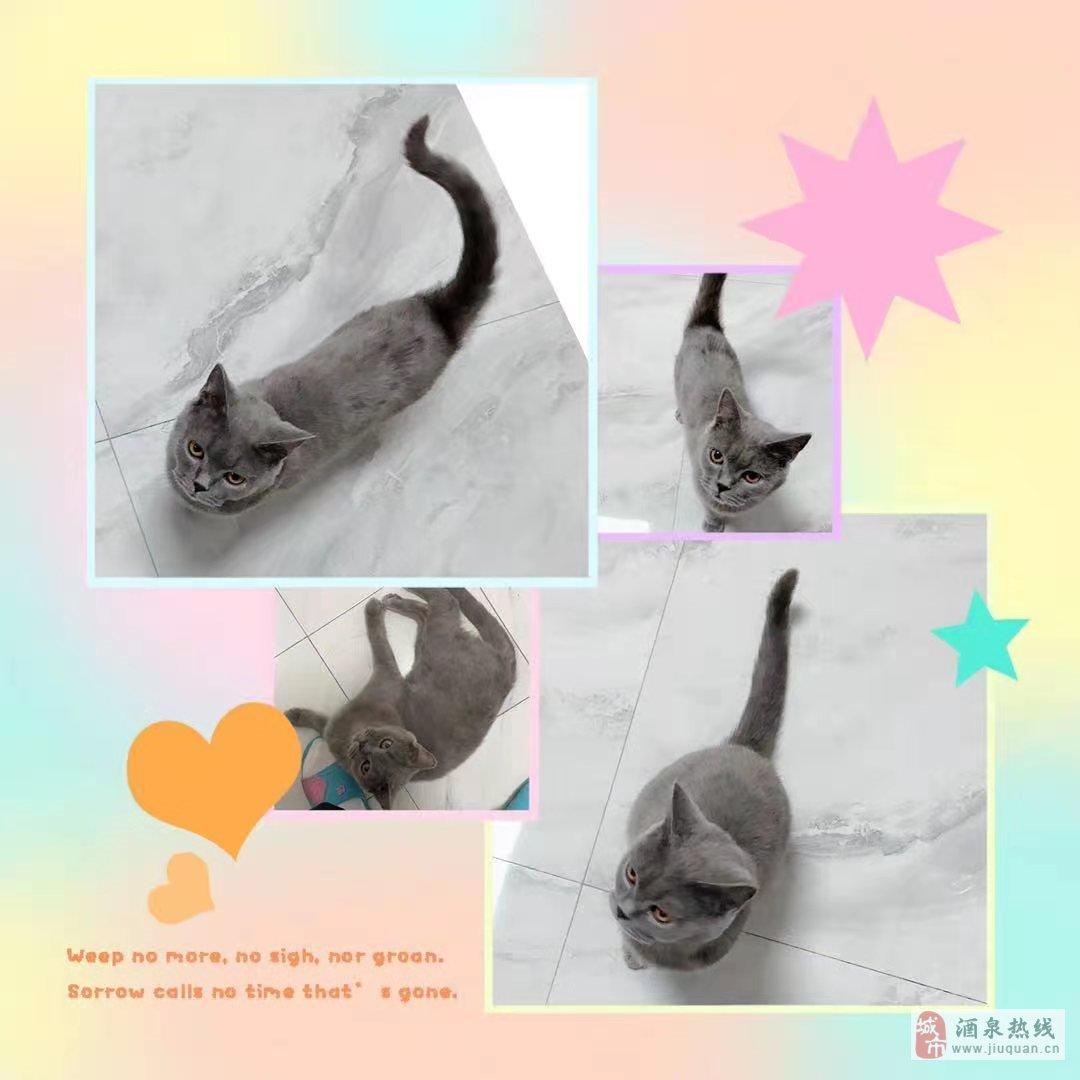 純種美短寵物貓咪