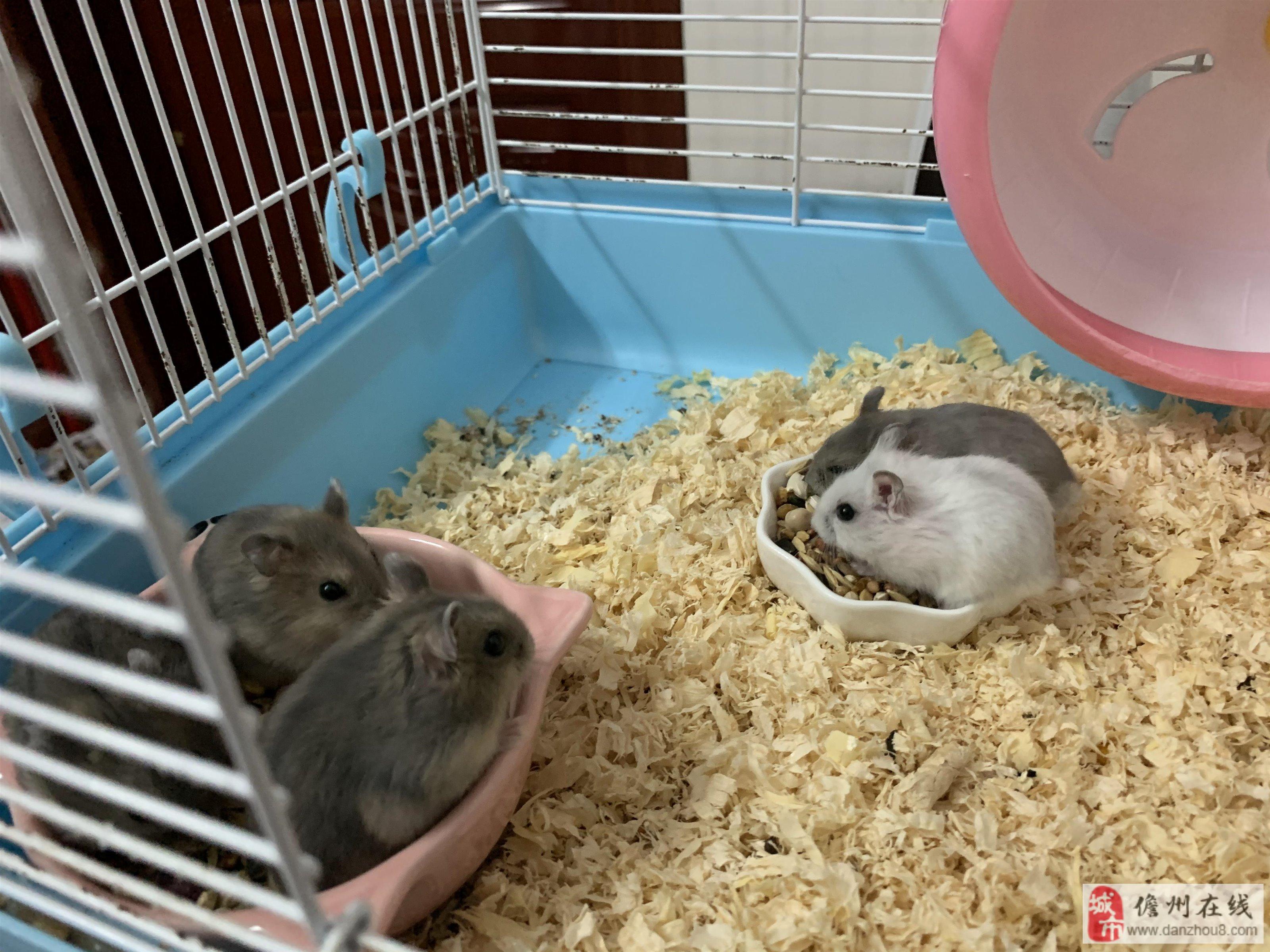 自家养的仓鼠出售。(只有紫仓和银狐)