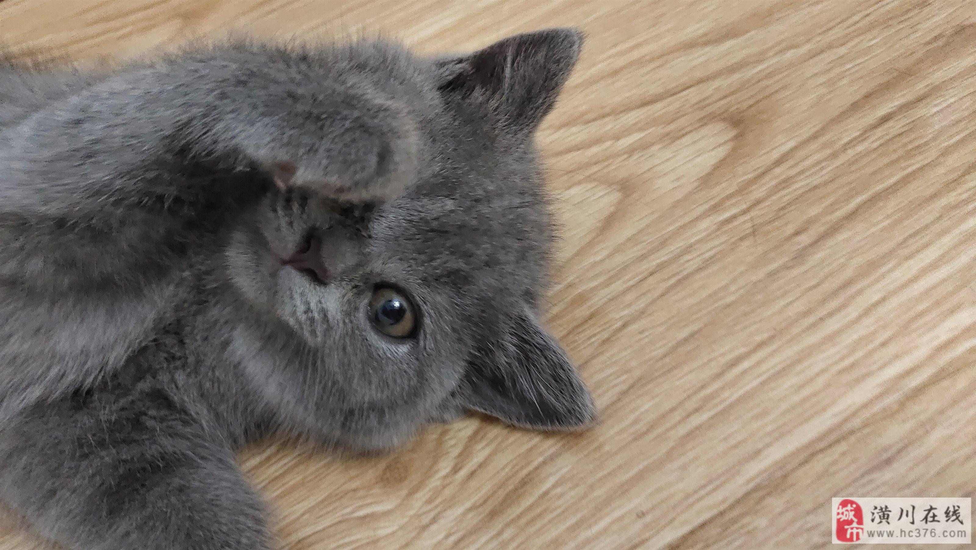 英短蓝猫血统纯正健康可爱找个真心对它好的主人