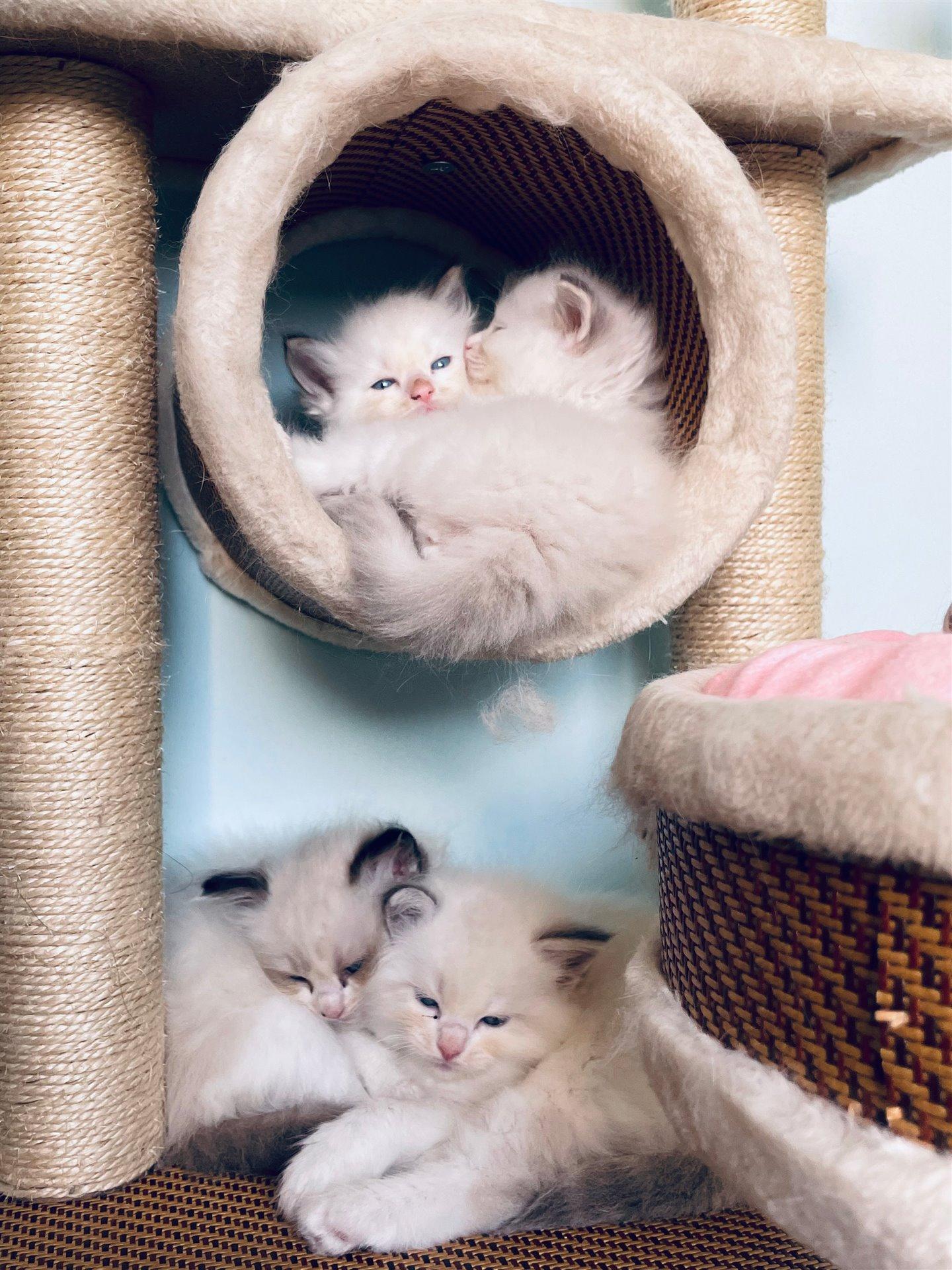 2个月大布偶猫一窝