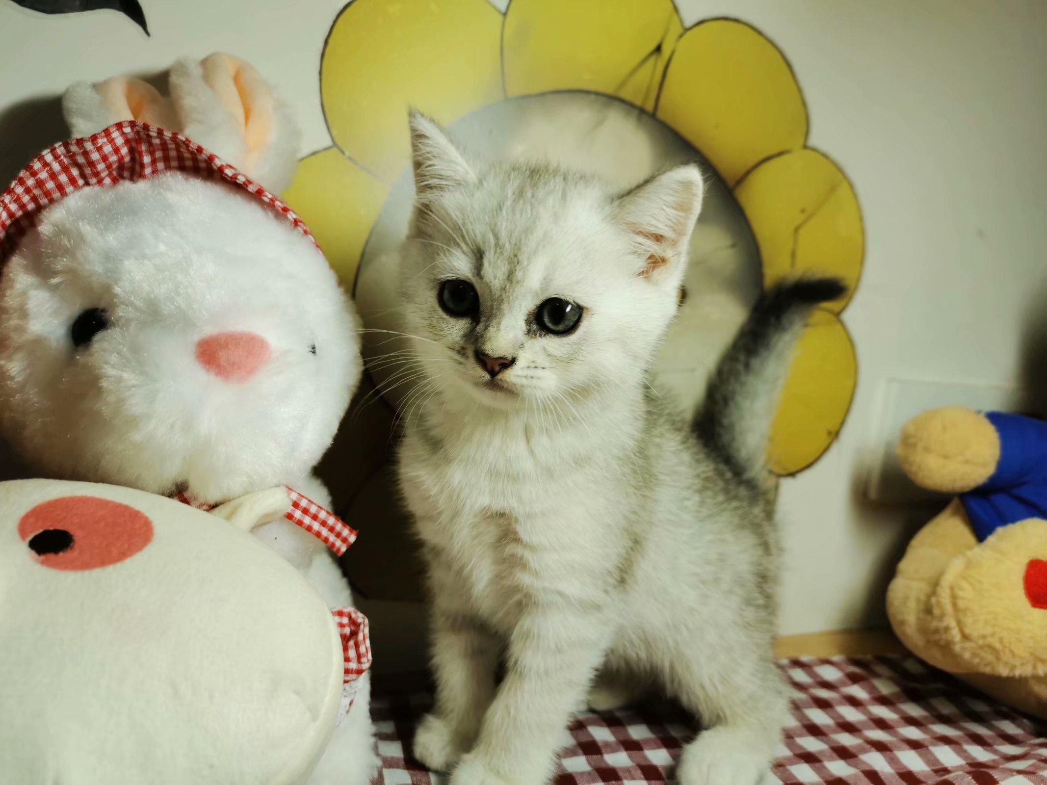 银渐层猫猫