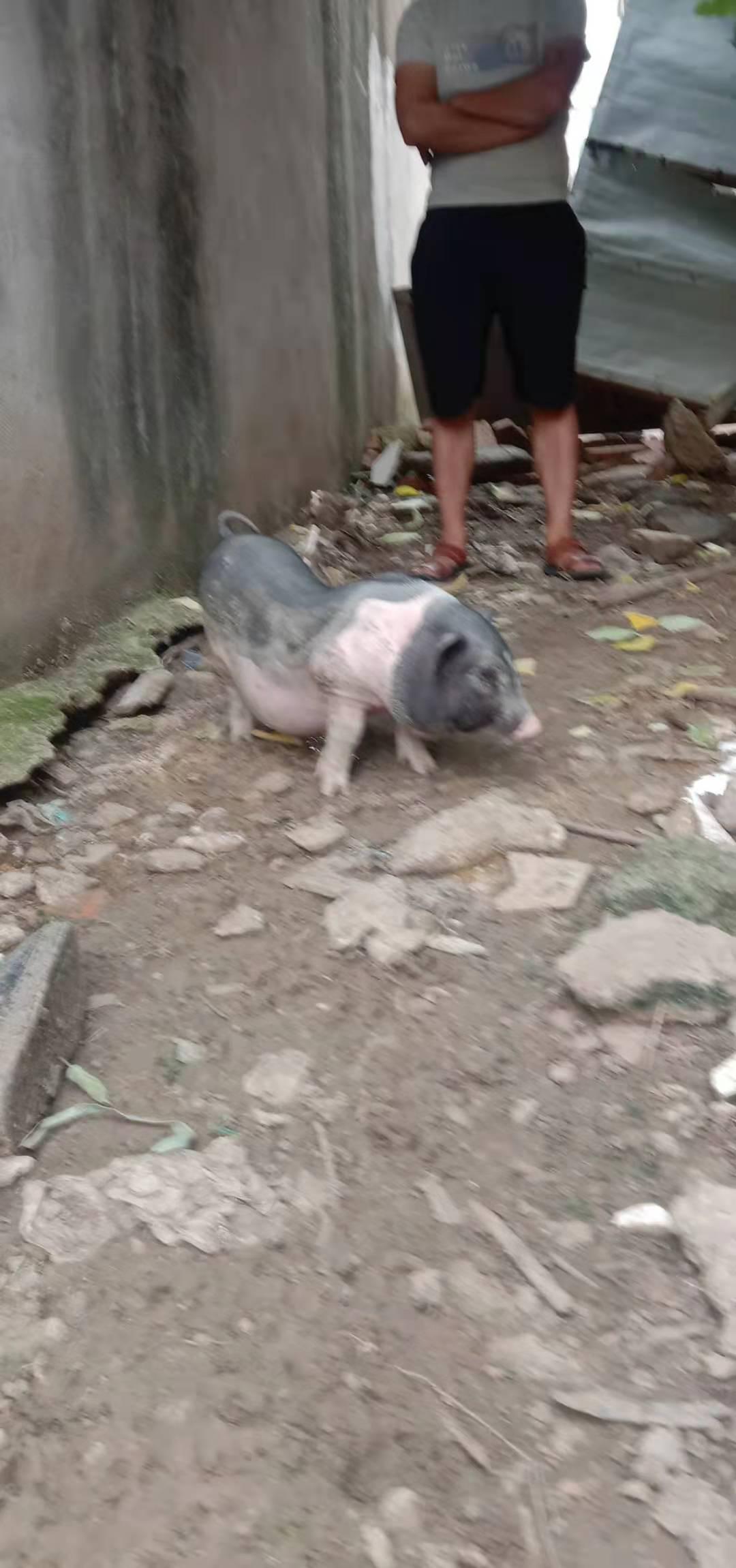 宠物猪一头卖了