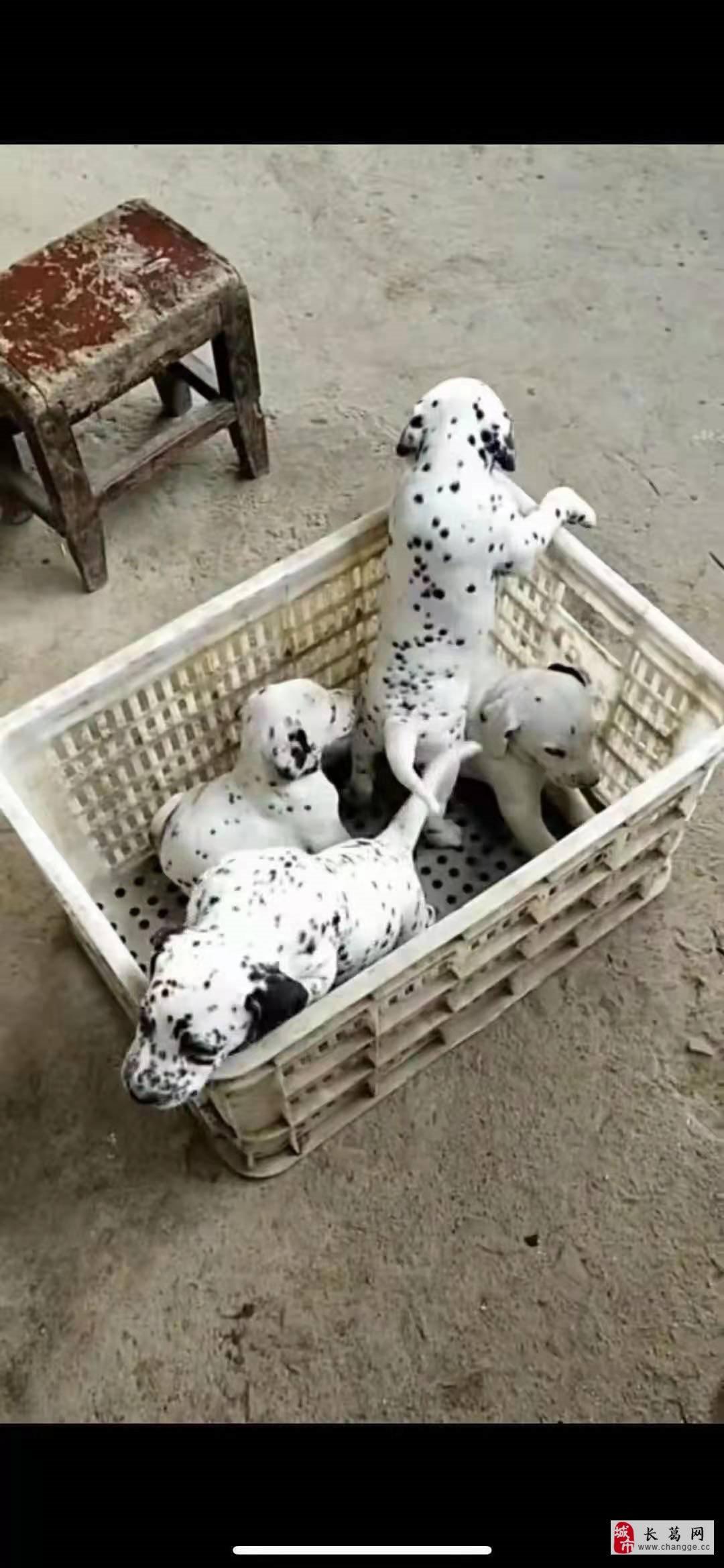 出售自家斑点狗