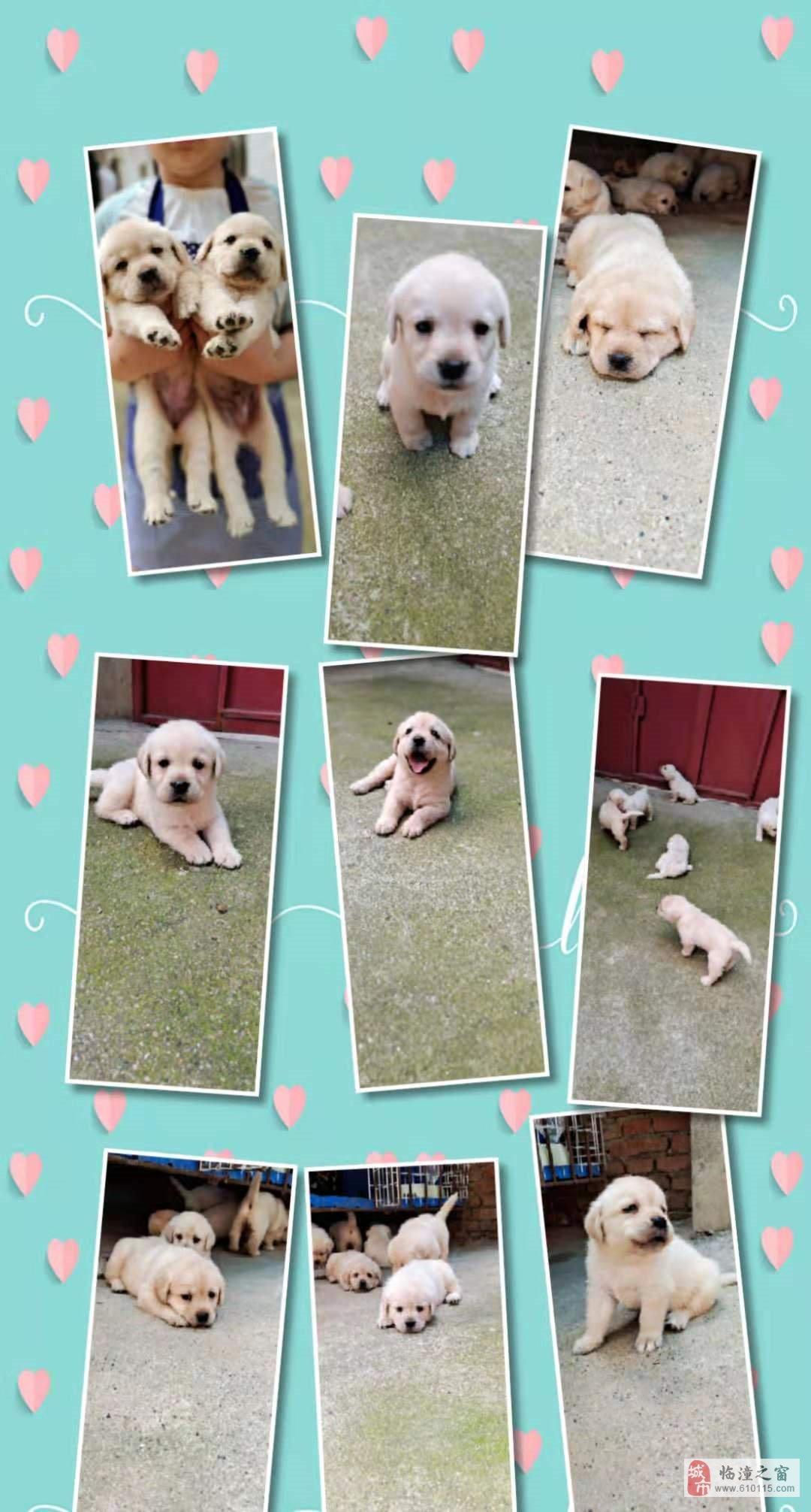 自家拉布拉多幼犬9只