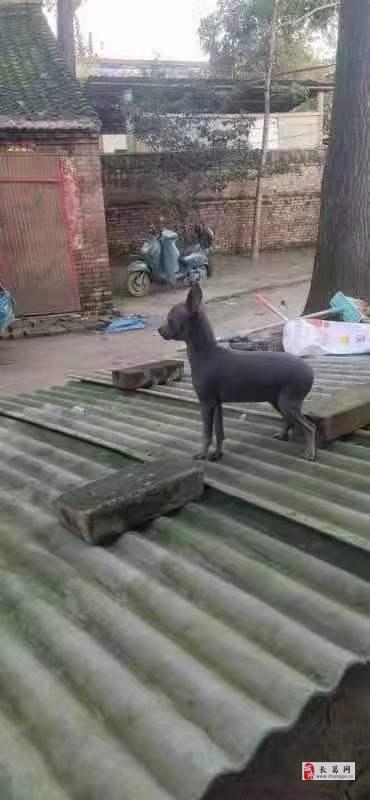 出售蓝鹿小鹿犬
