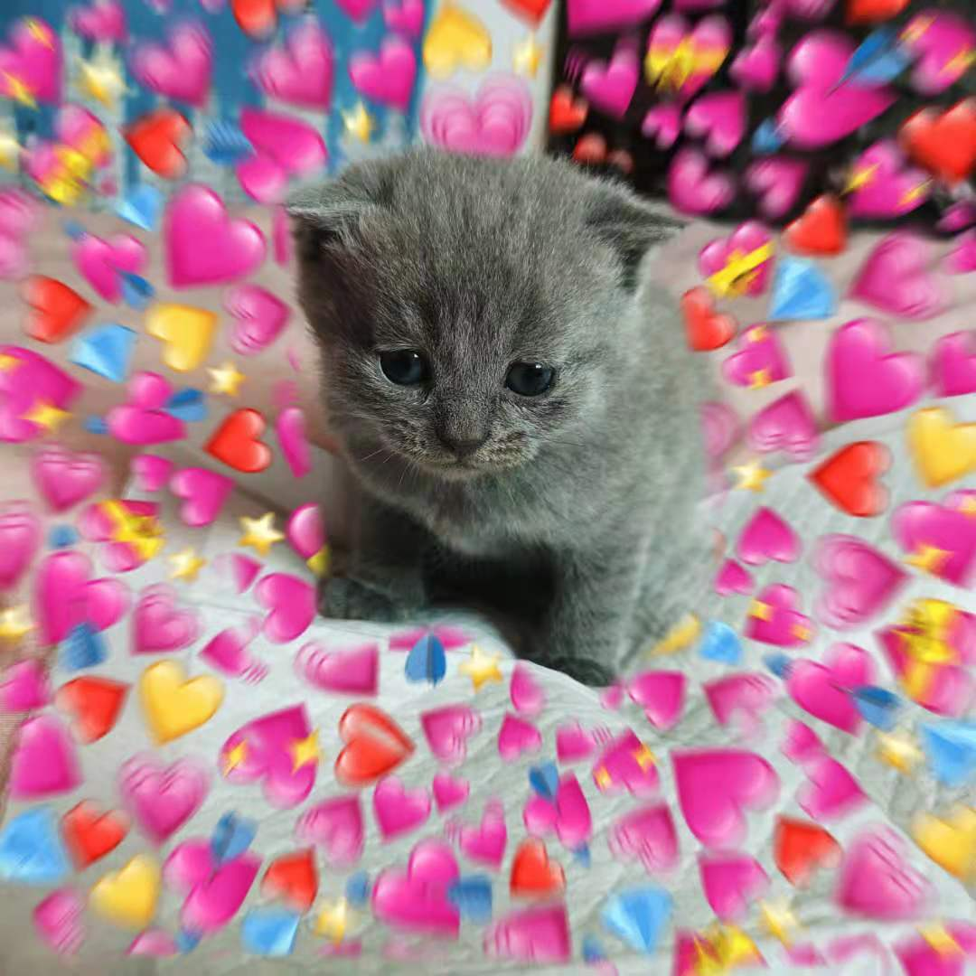 自家猫猫生的英短蓝猫幼崽