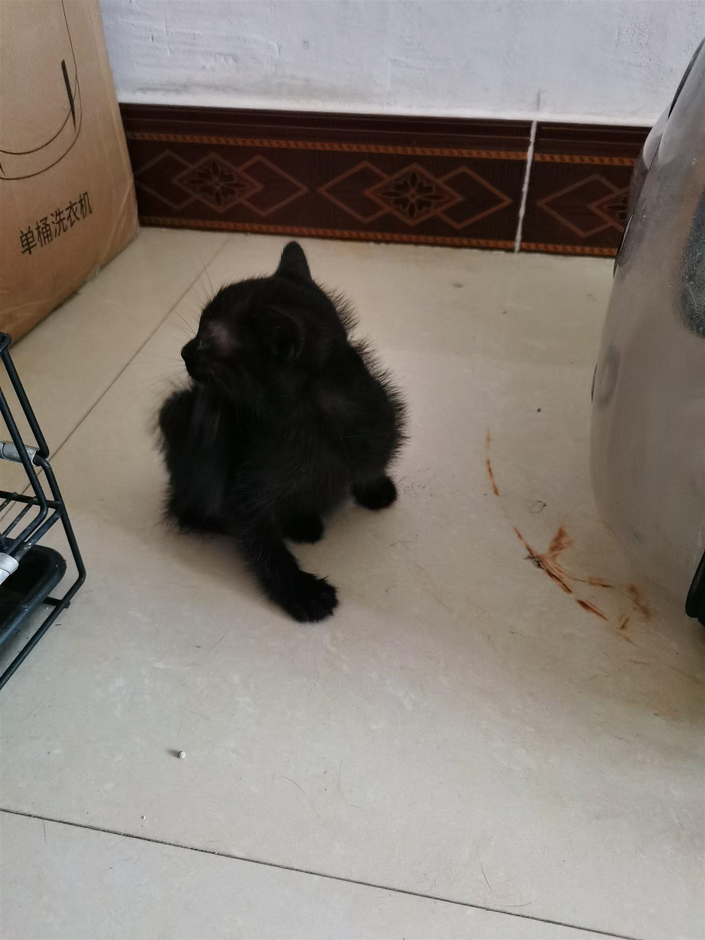 二个月大小黑猫