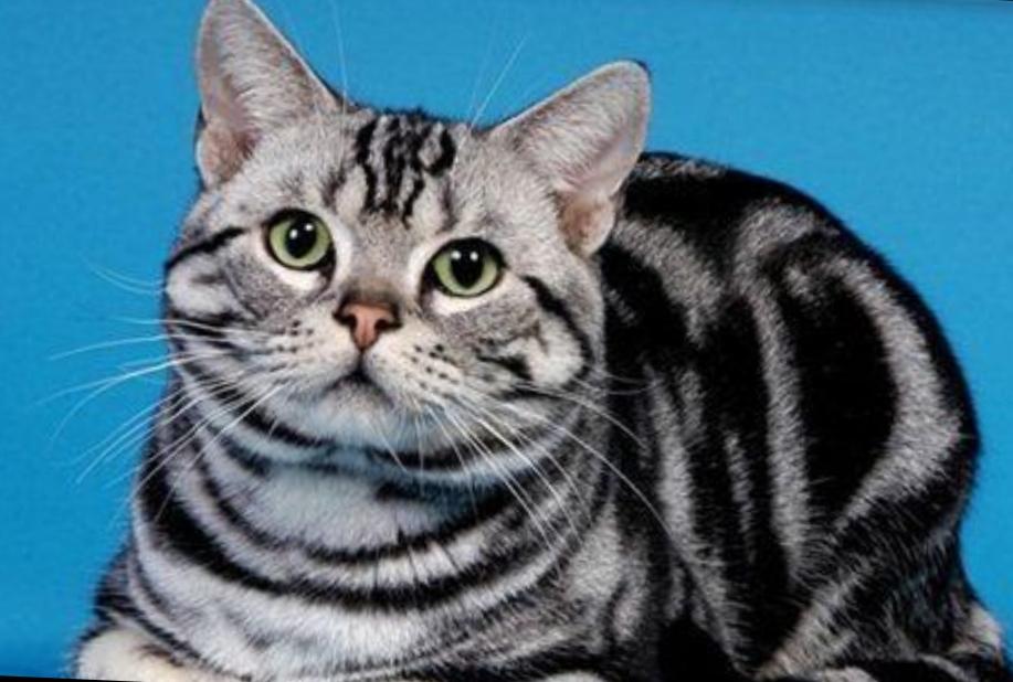 家養精品美短貓出售