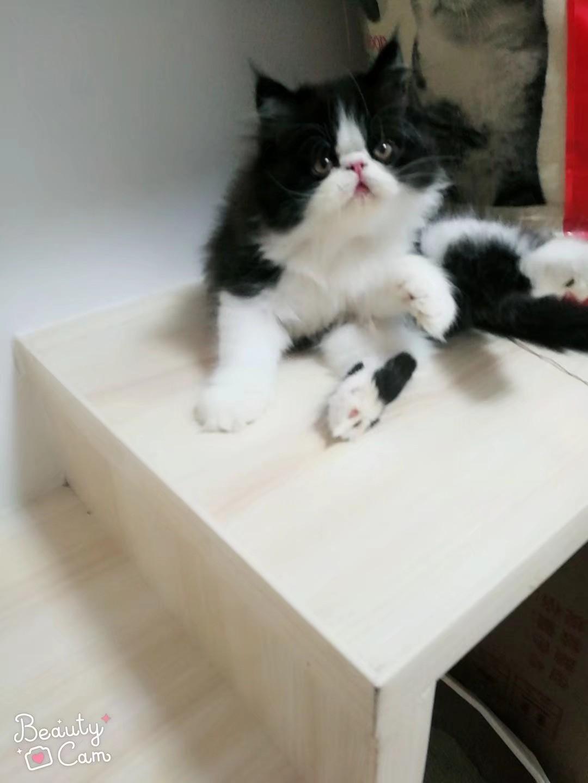 免費領養加菲貓    貓照片是三個月大
