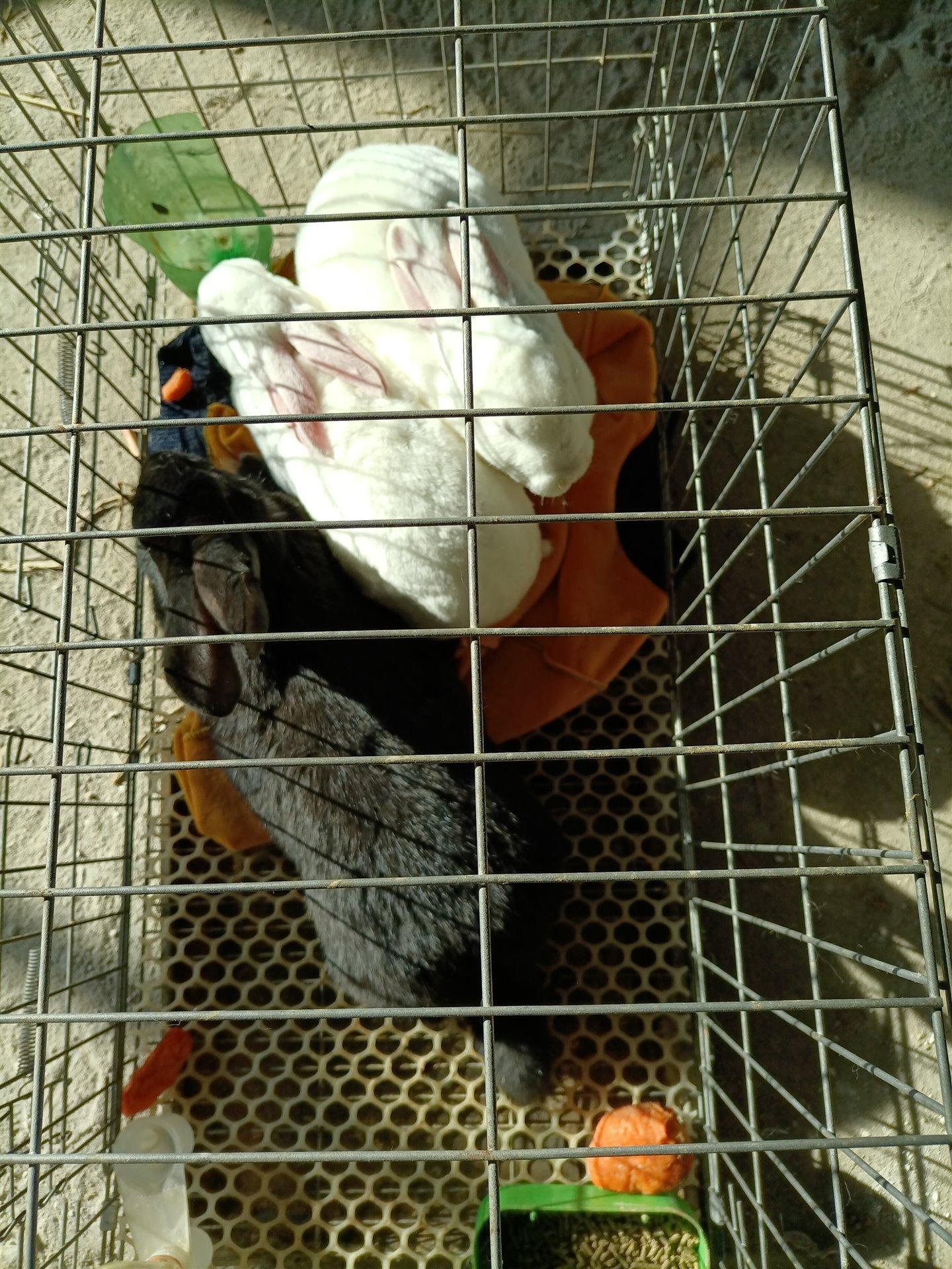 公羊兔獭兔六斤以上三只五百元(快生小兔)