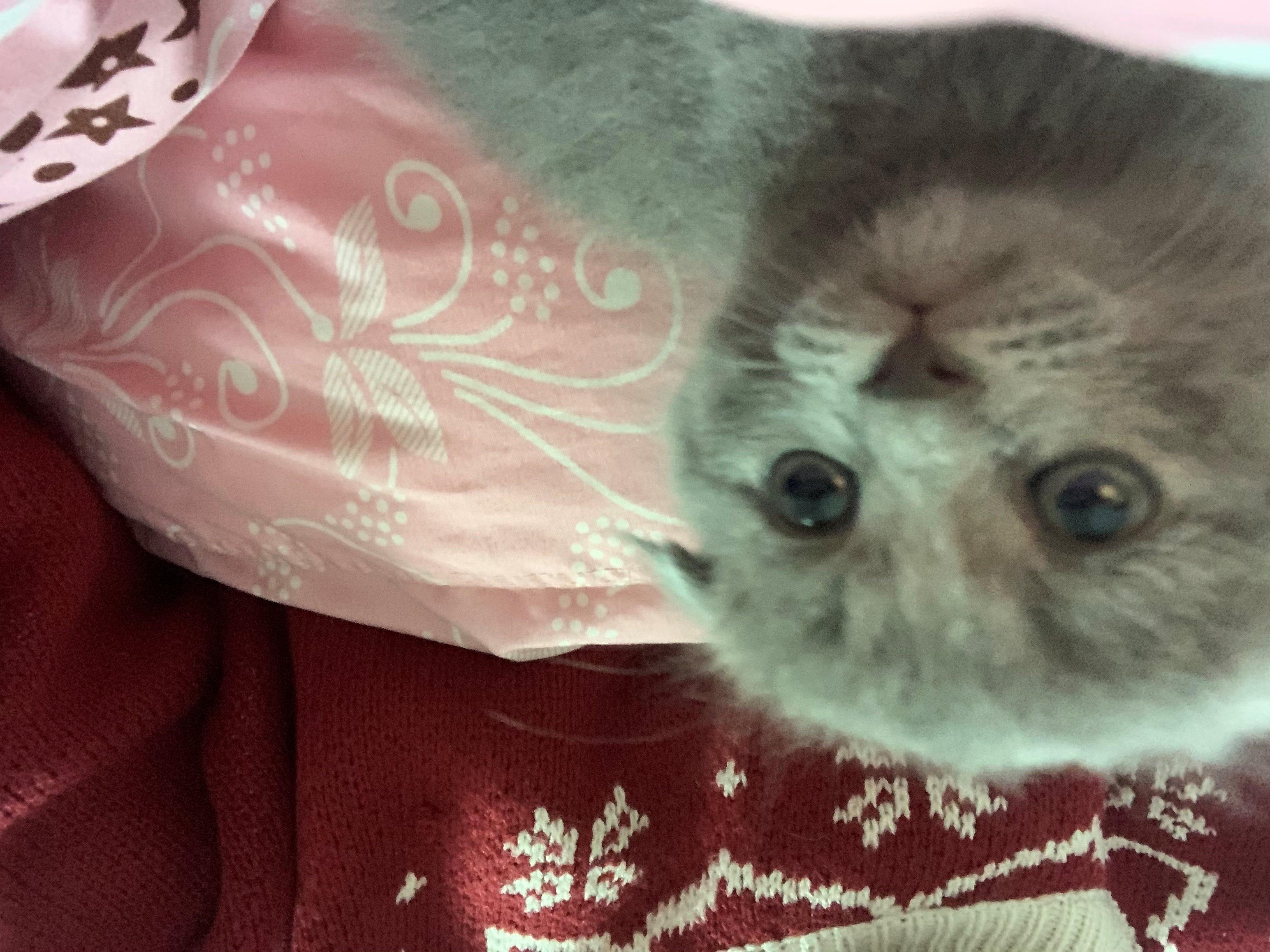 家有兩個月純種藍貓出售,有需者歡迎打擾