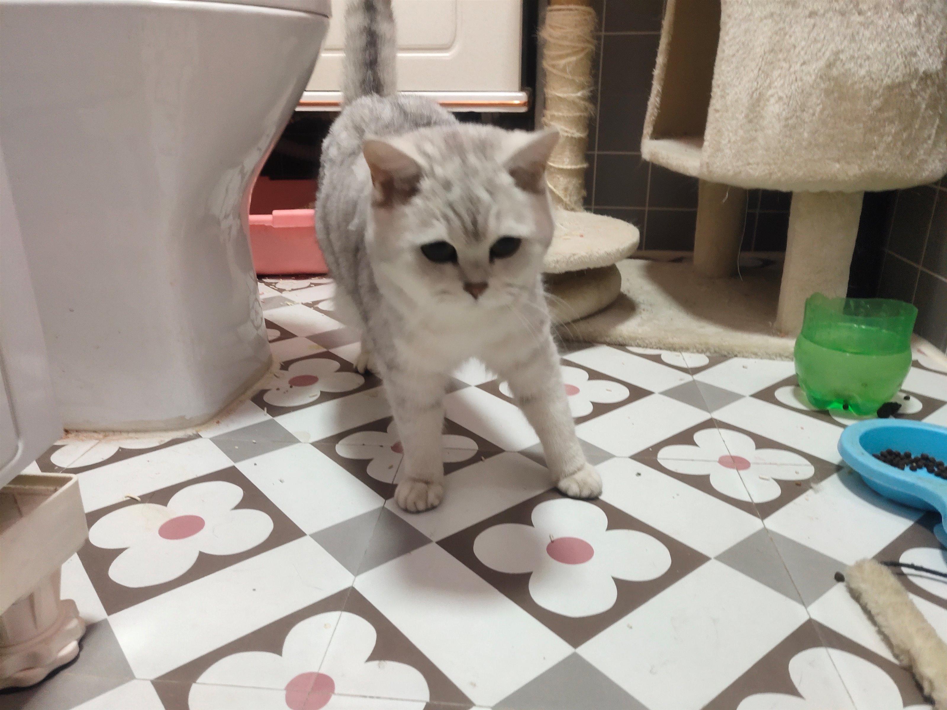 出售自家养的银渐层母猫,送五袋猫砂