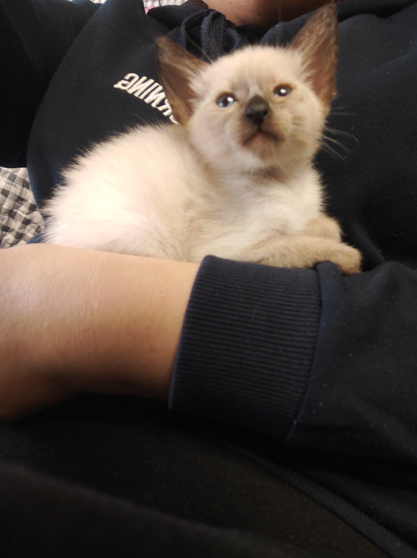 暹罗猫出售