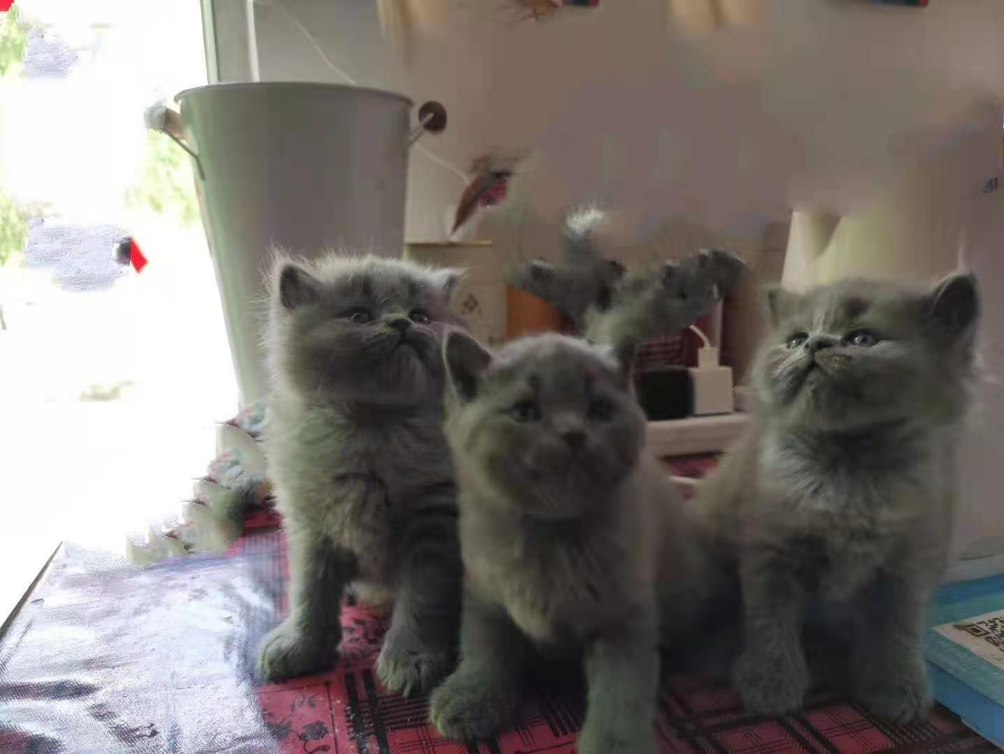自己养的蓝猫折耳