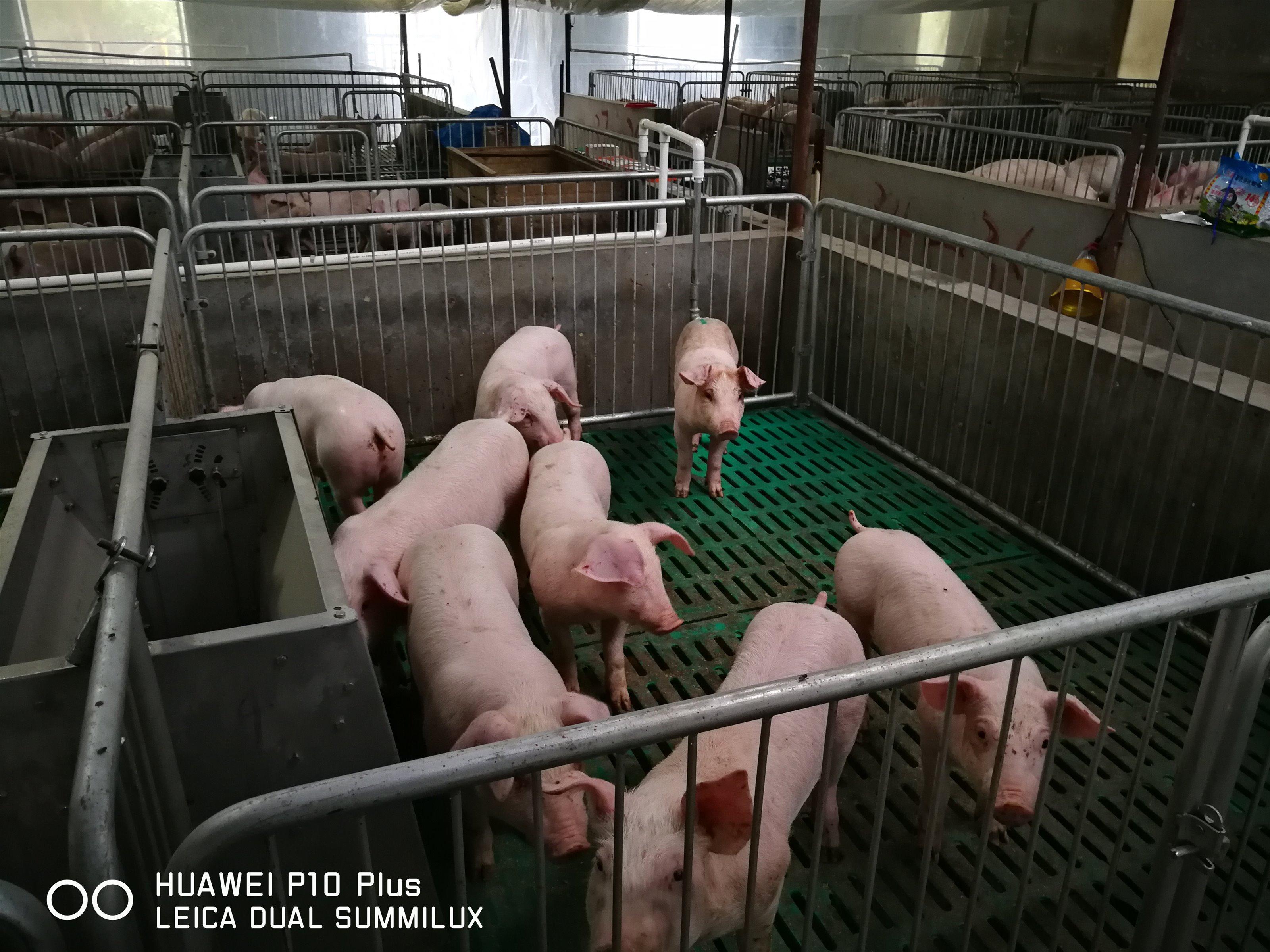 文峰石痕养猪场猪苗