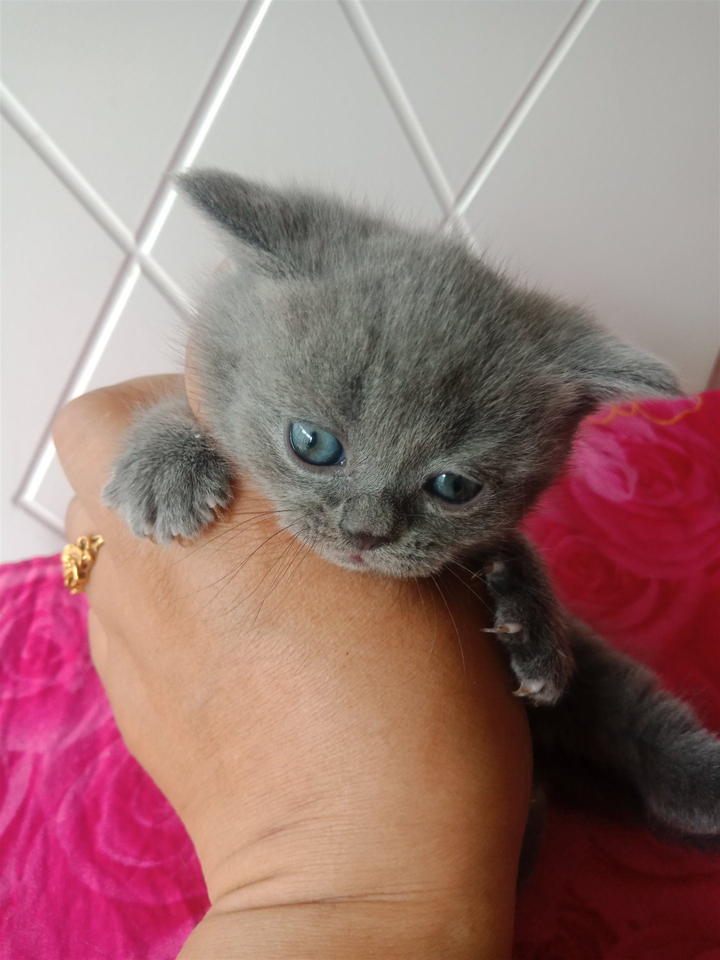 自家貓貓生的藍崽崽