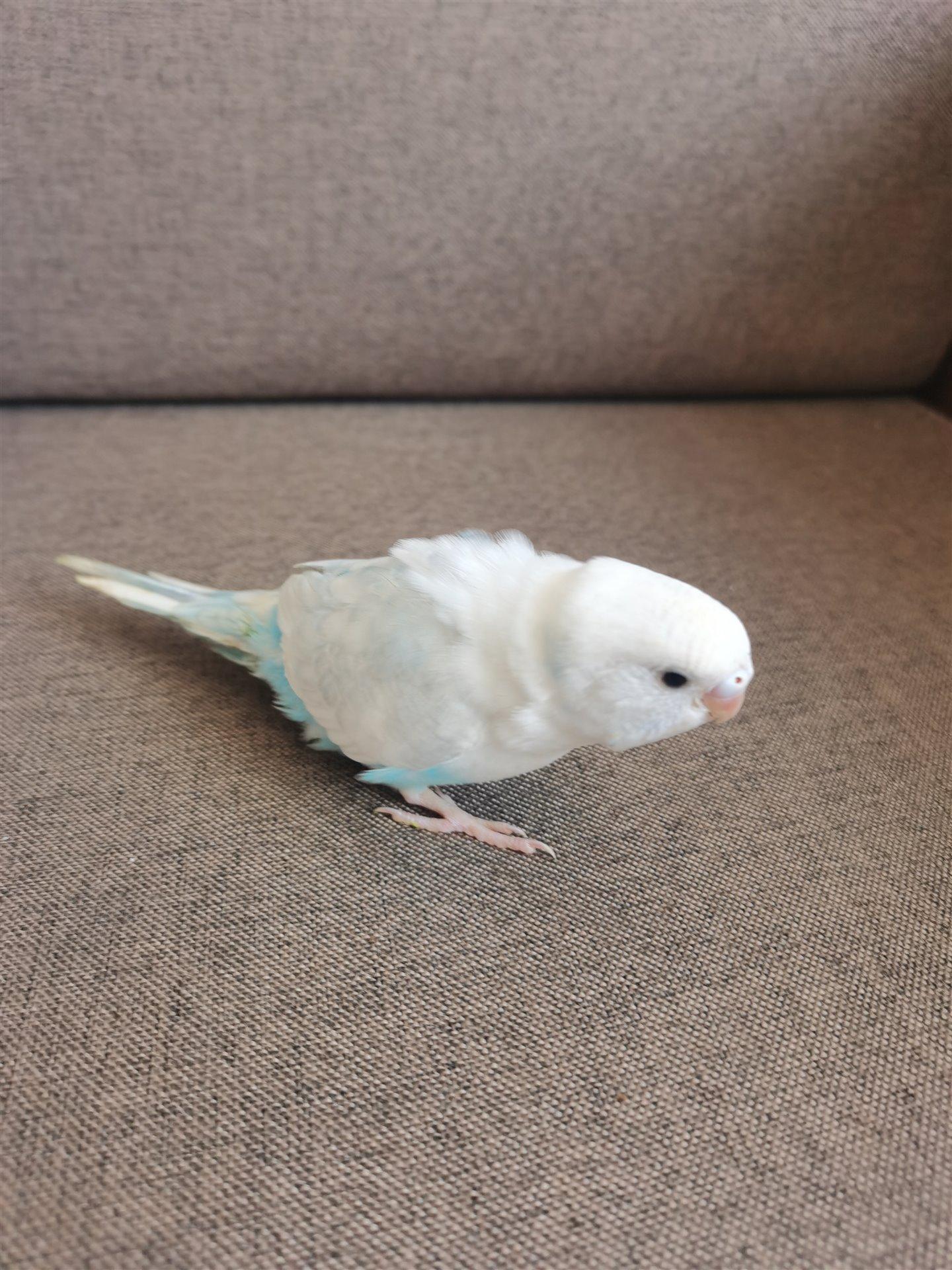 小大头鹦鹉
