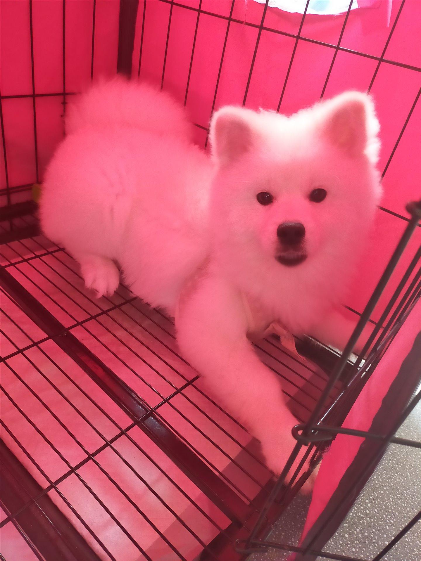 出售6個半月純種標體博美狗