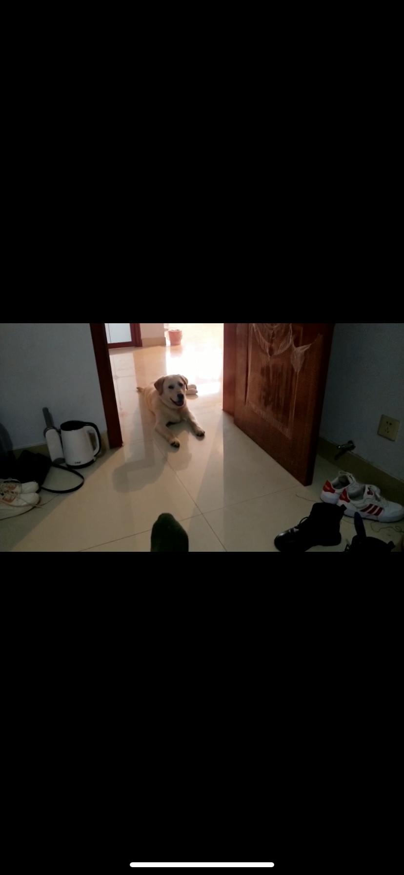 拉布拉多公狗狗