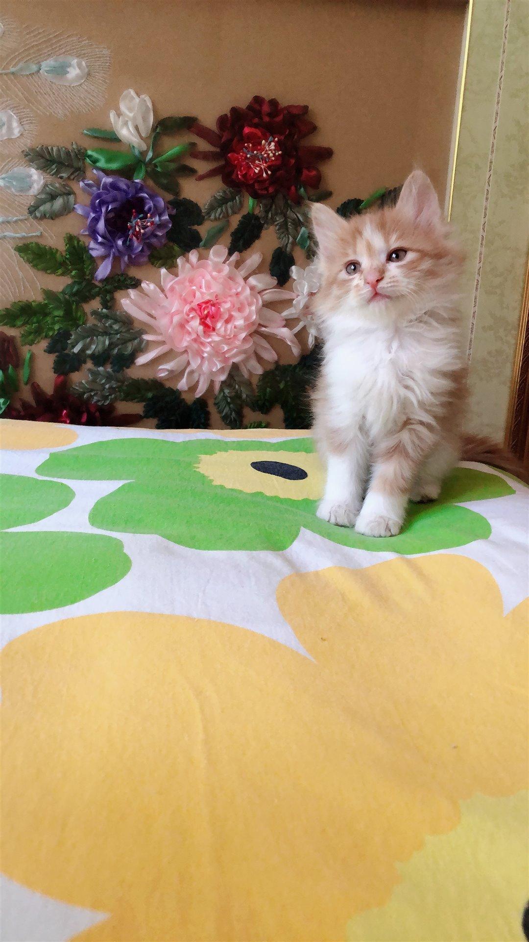 出售橘白長毛貓