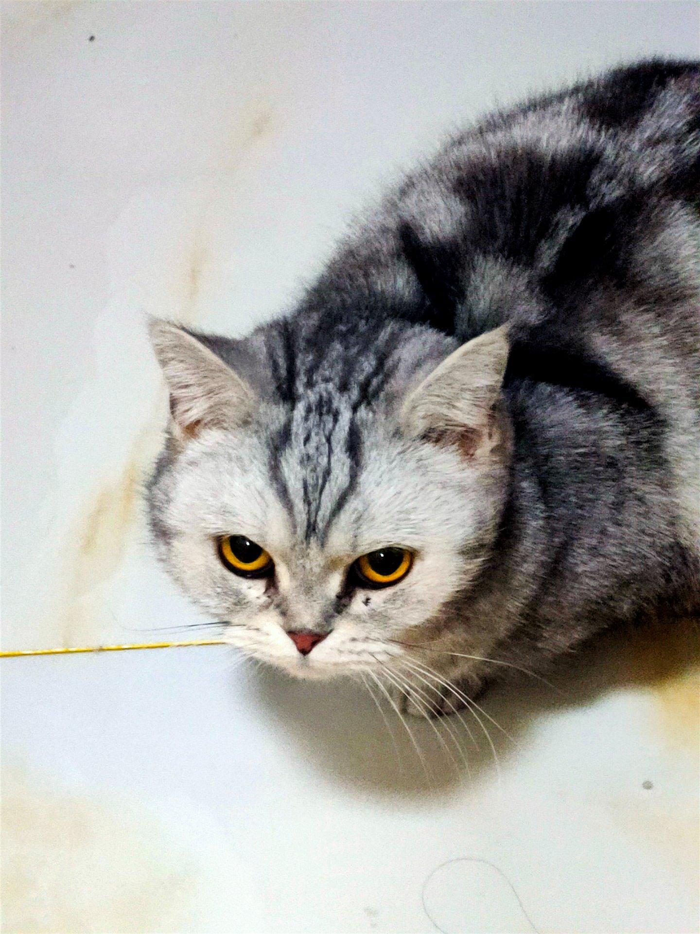 美短渐层猫咪出售