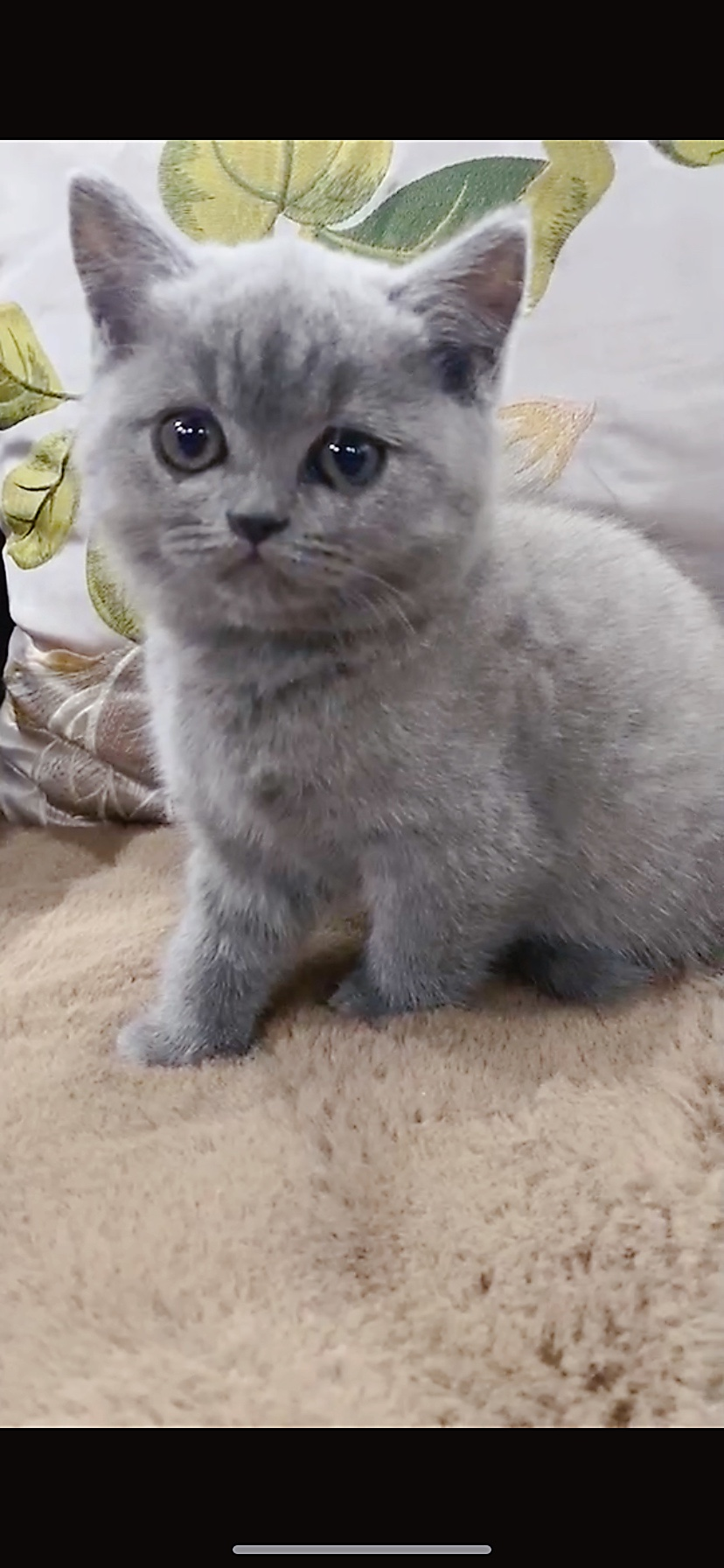 兩個月的小藍貓