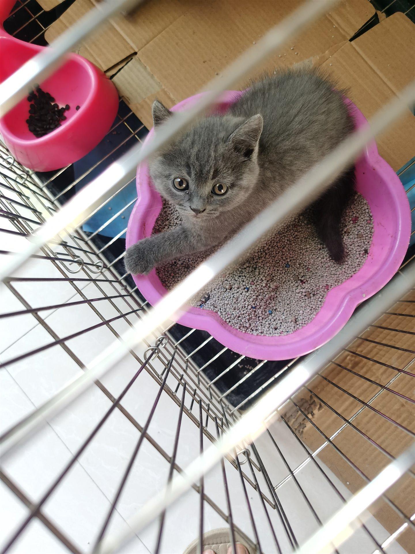 出售蓝猫幼崽