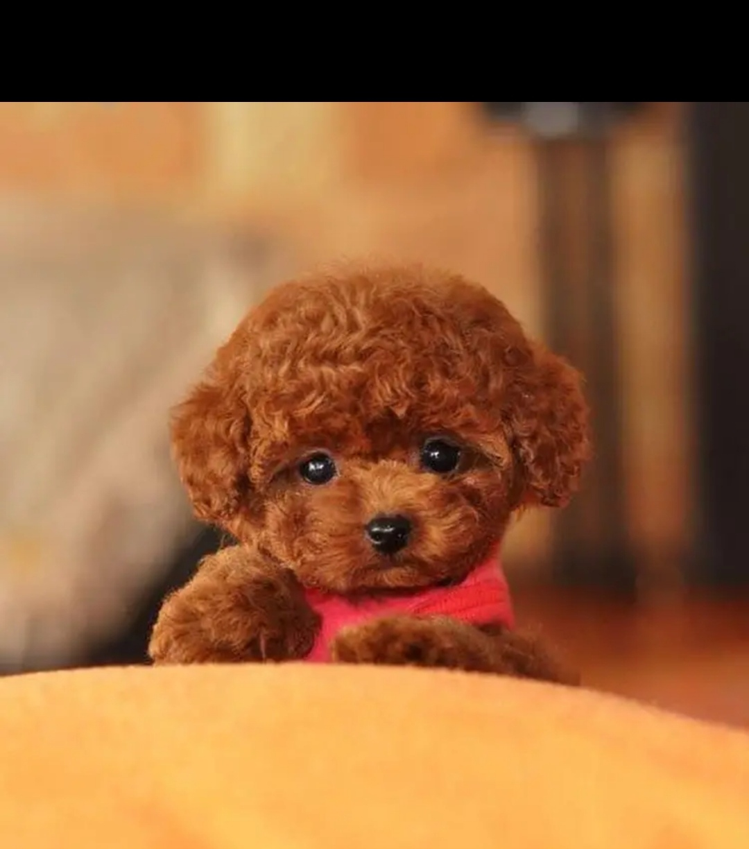 領養泰迪狗