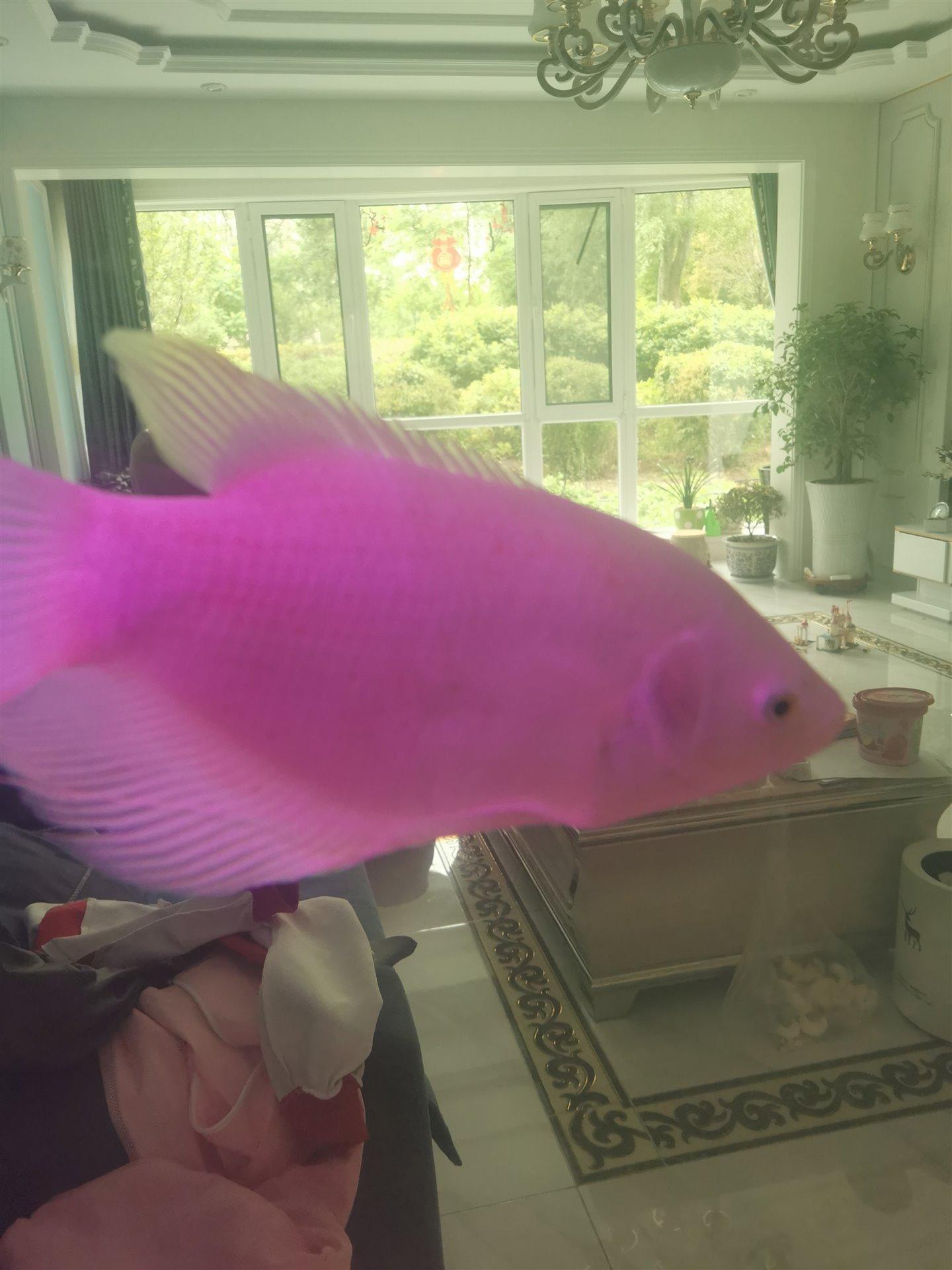 招财鱼(40厘米长)出售