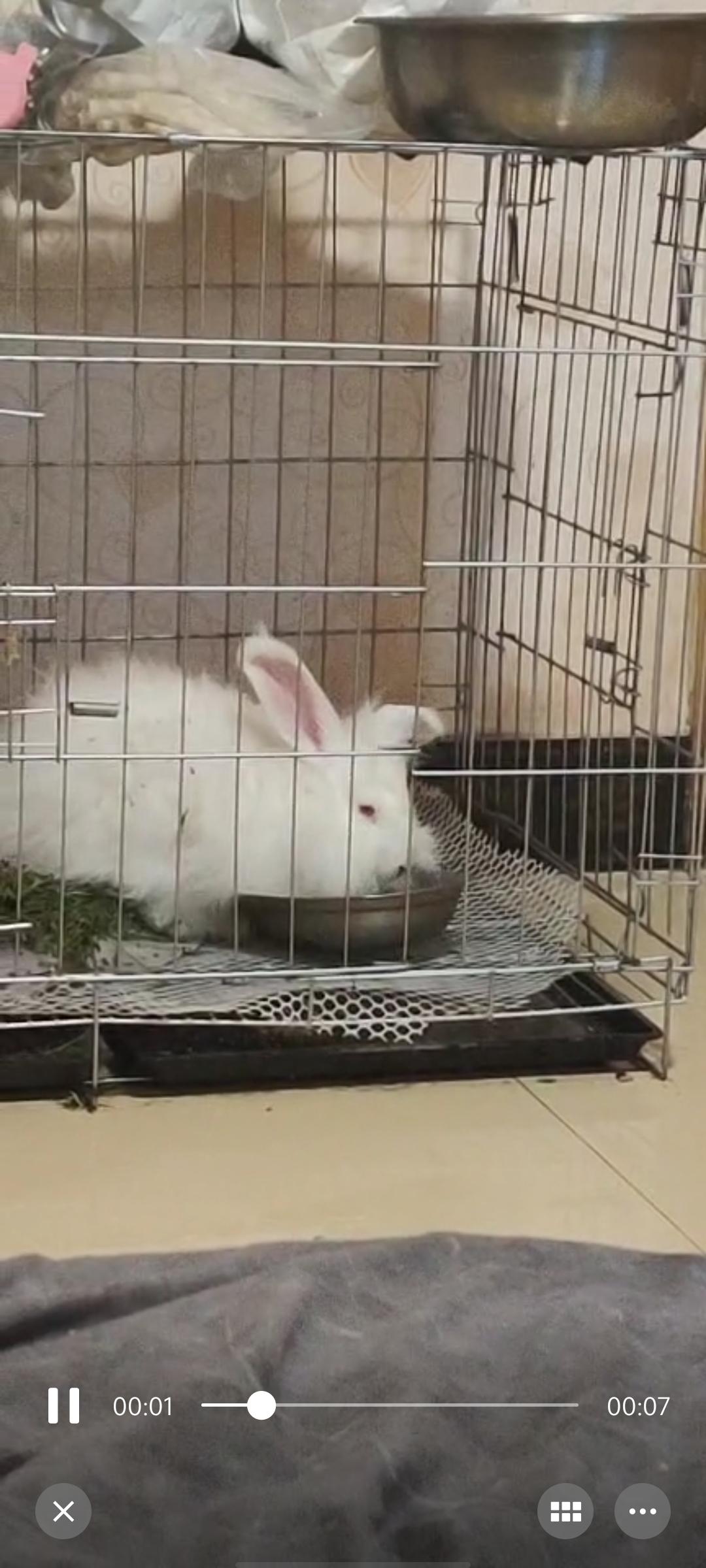 巨型安哥拉兔 垂耳兔