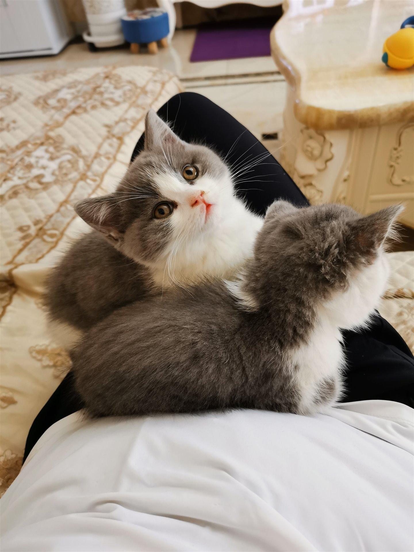 出售纯种英短蓝白幼猫