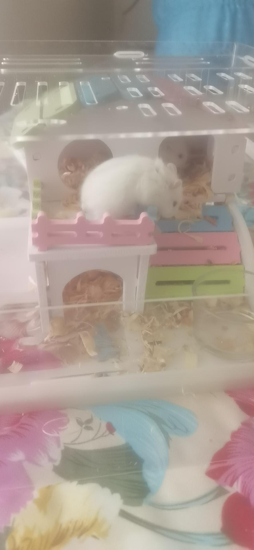 自家繁殖的小仓鼠