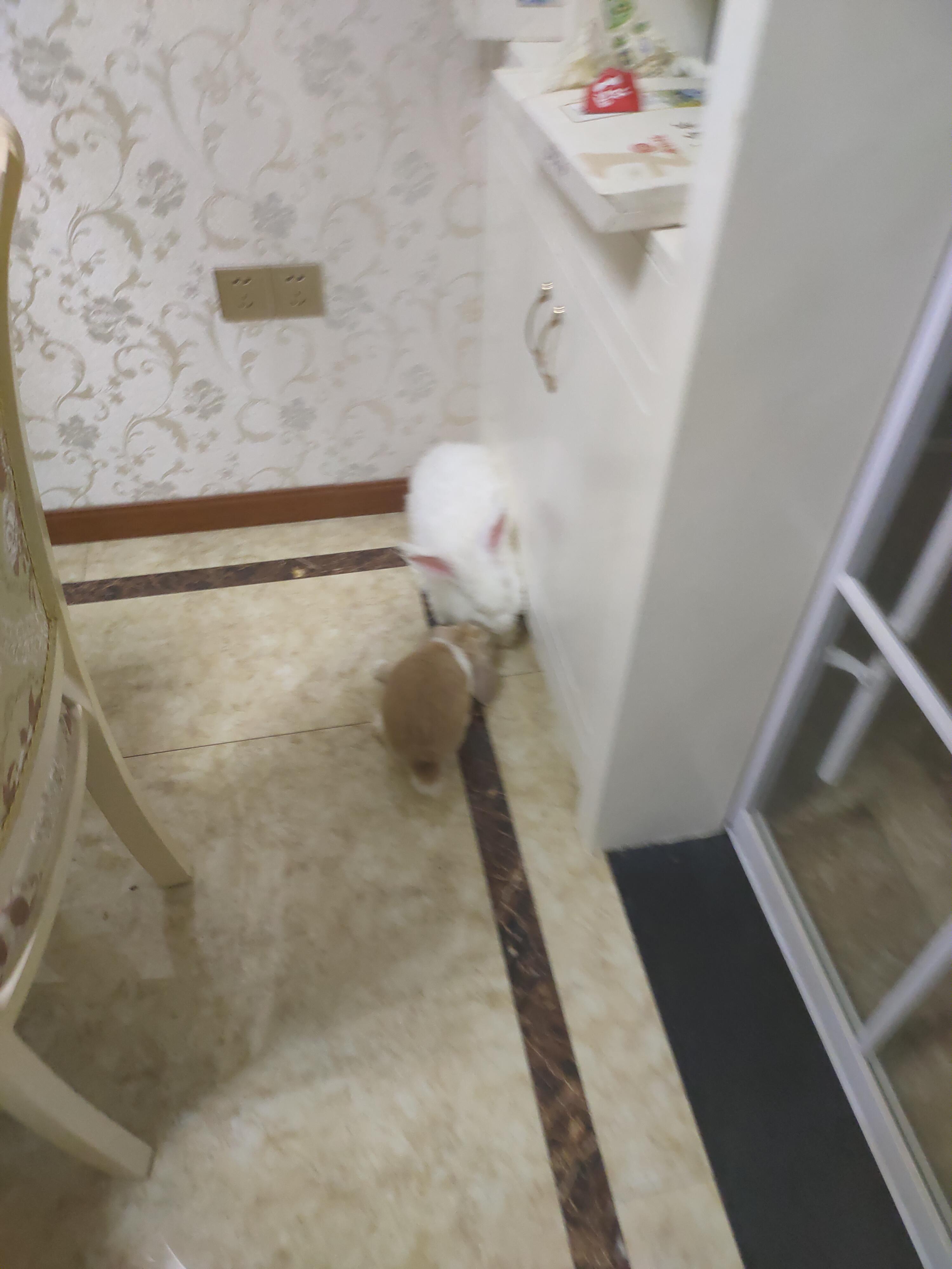 有无安哥拉兔兔