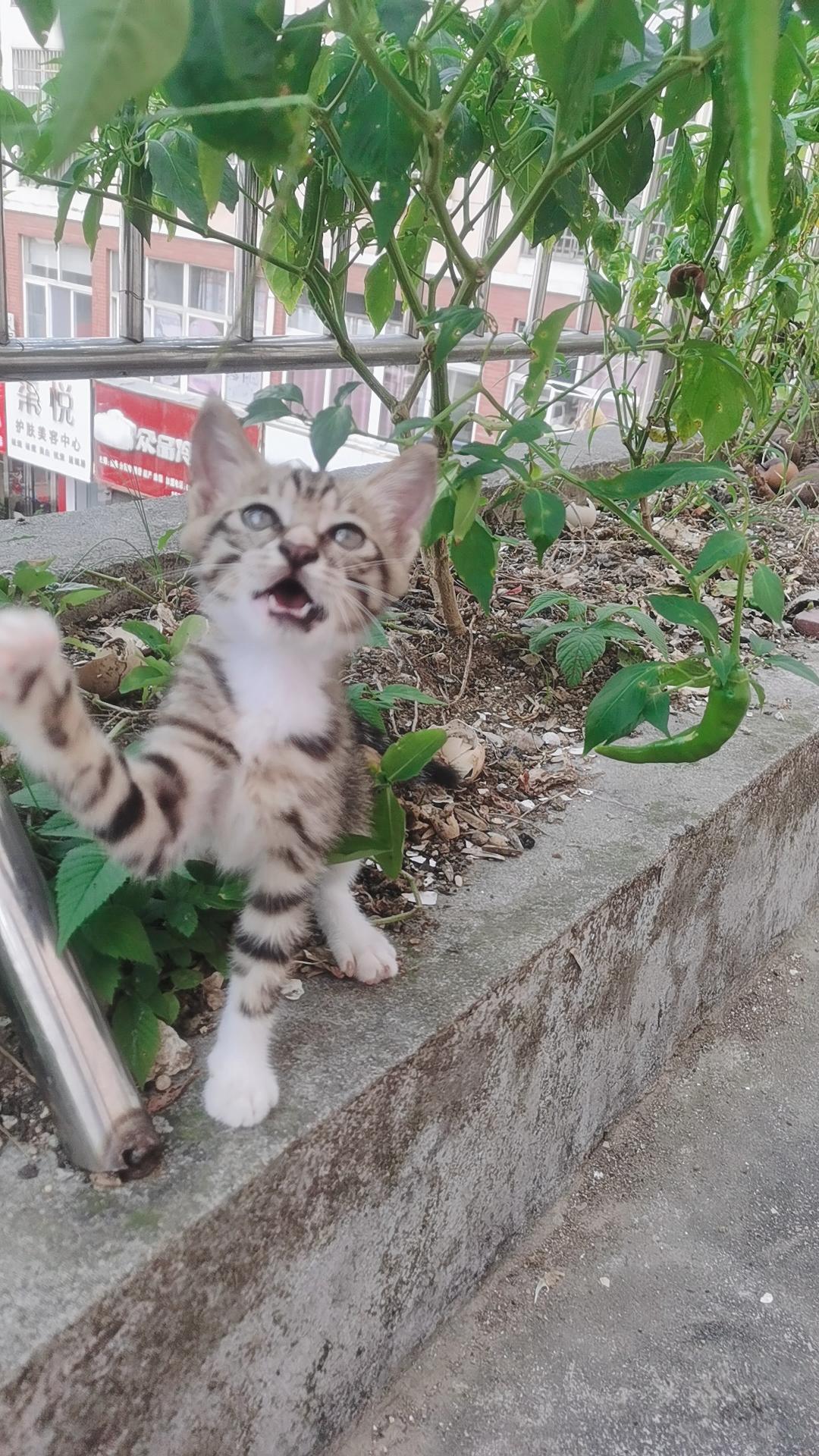 求領養田園貓
