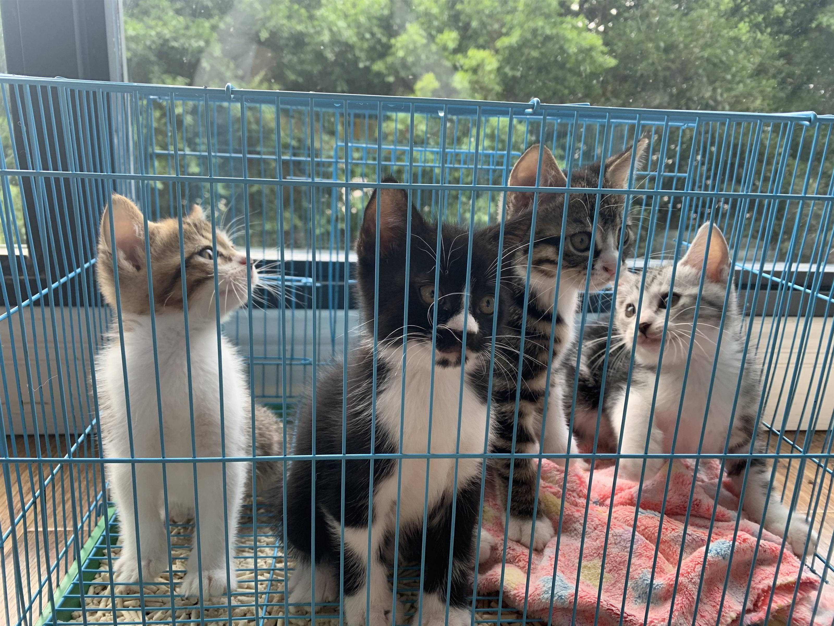 自家美短小猫咪便宜出售