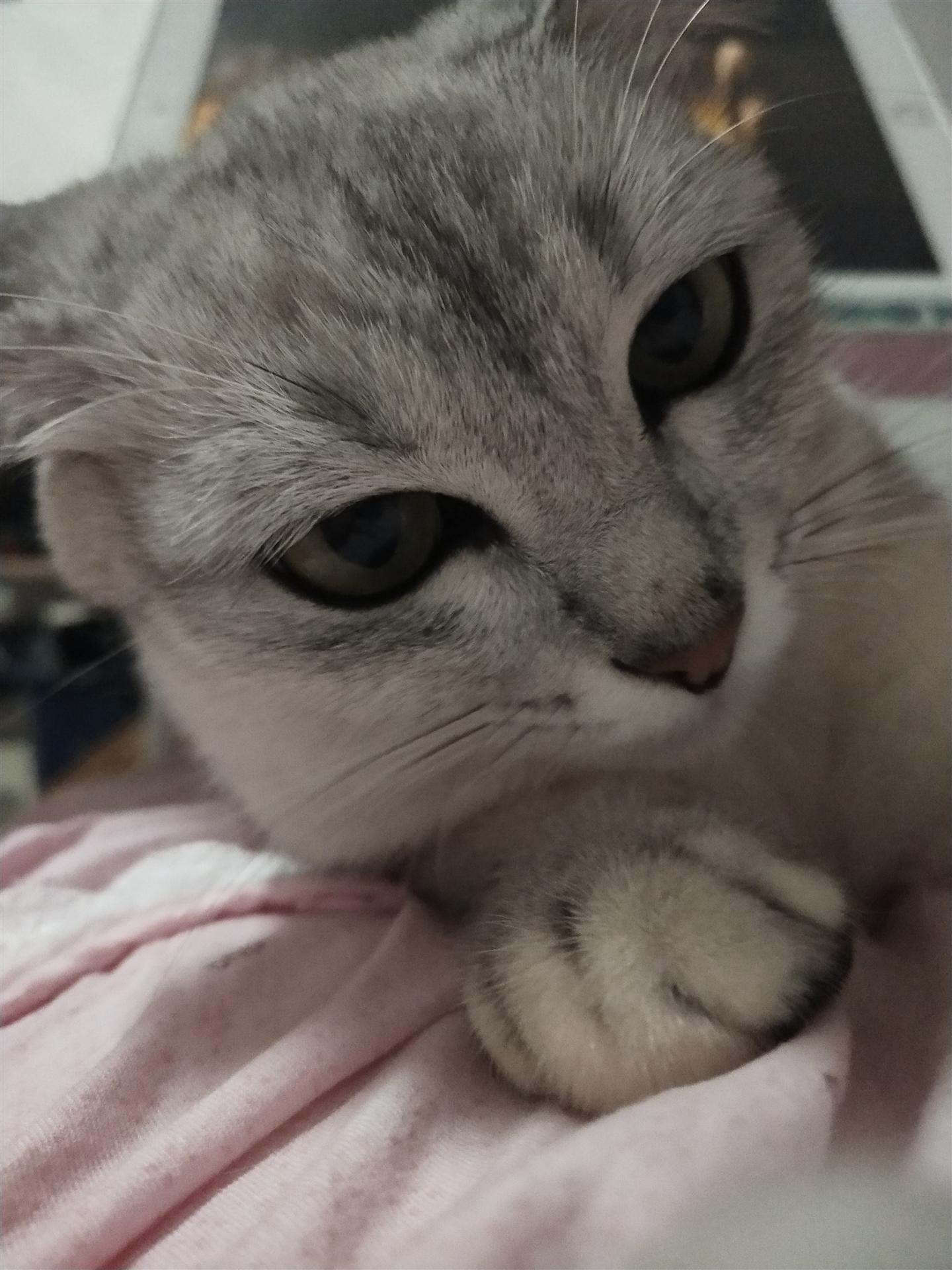 母猫发情求公猫借配