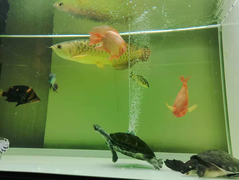 三只黄头龟出售(两母一公)