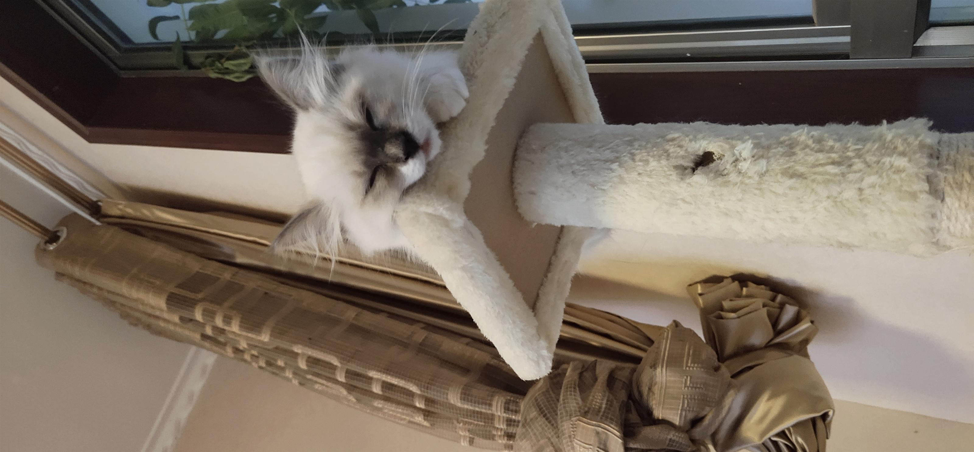 重點色布偶貓