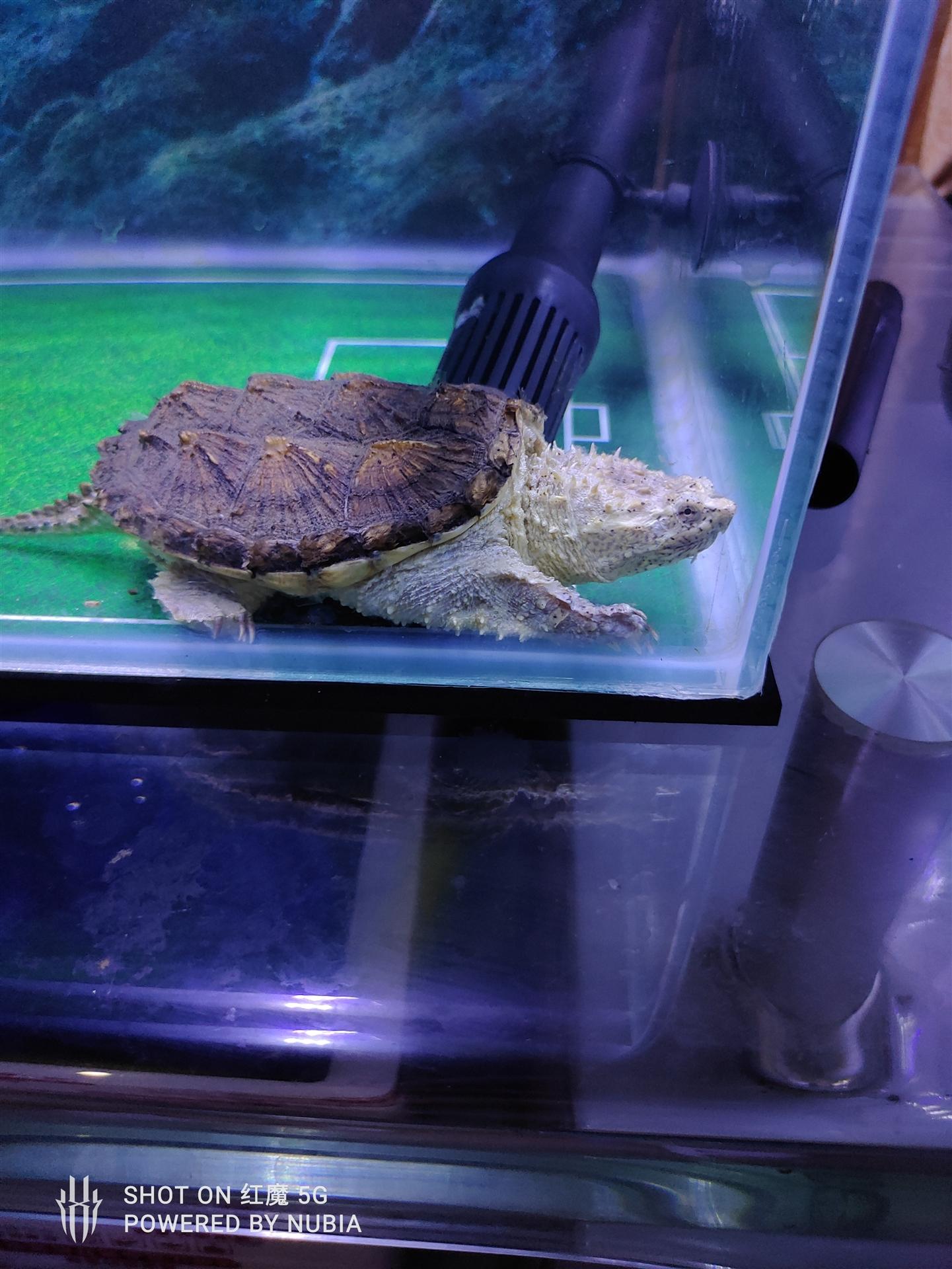 出售自养鳄龟